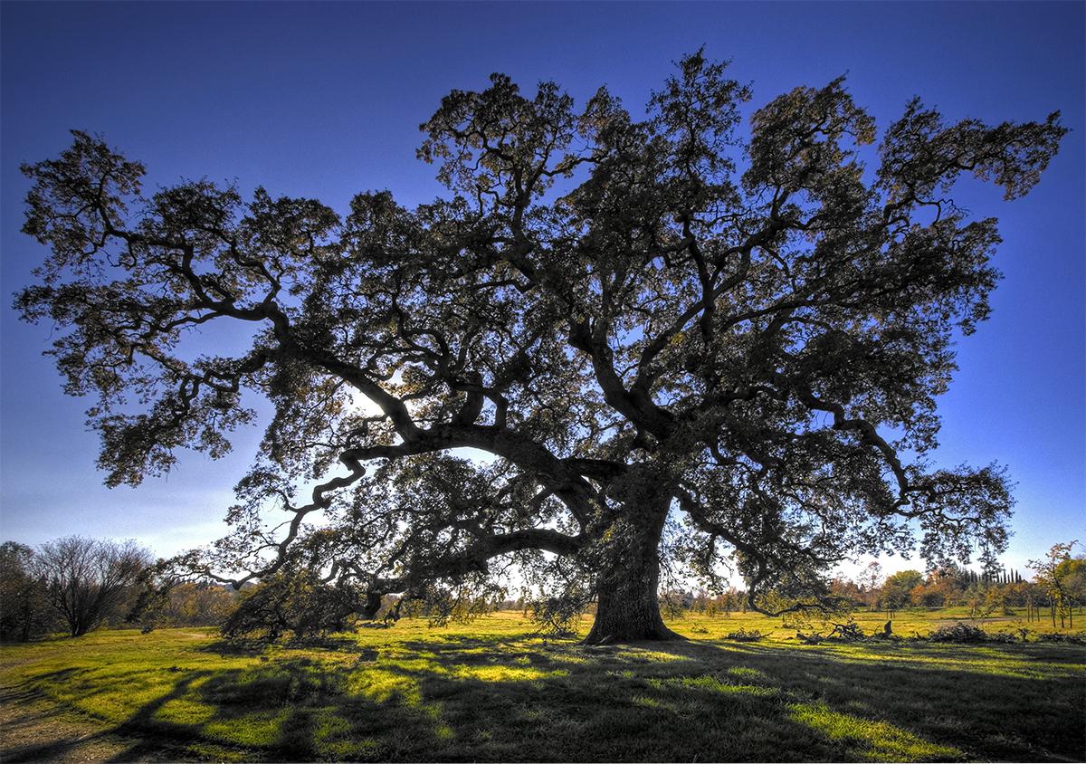 Mighty Oak.jpg