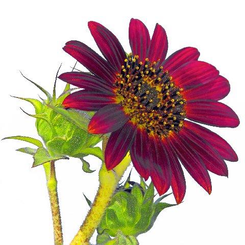 Nissen flower (3).jpg