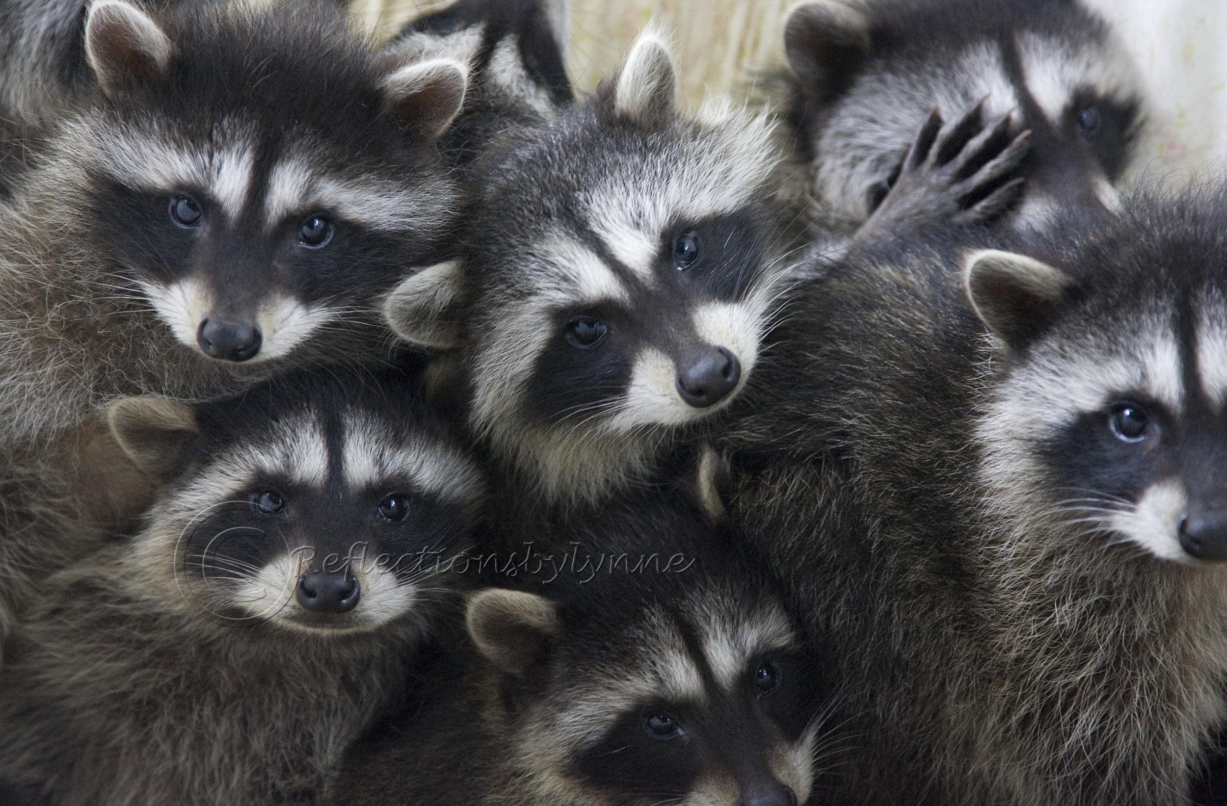 Rocky Raccoon.jpg