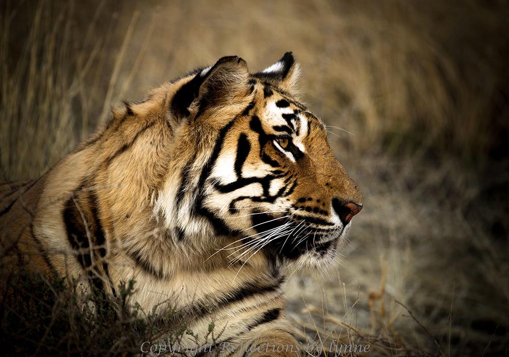 Edwards_Profile of a tiger_web.jpg