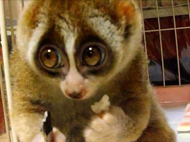 youll-want-a-slow-loris-as-a-pet-after-you-watch-this-adorable-video.jpg