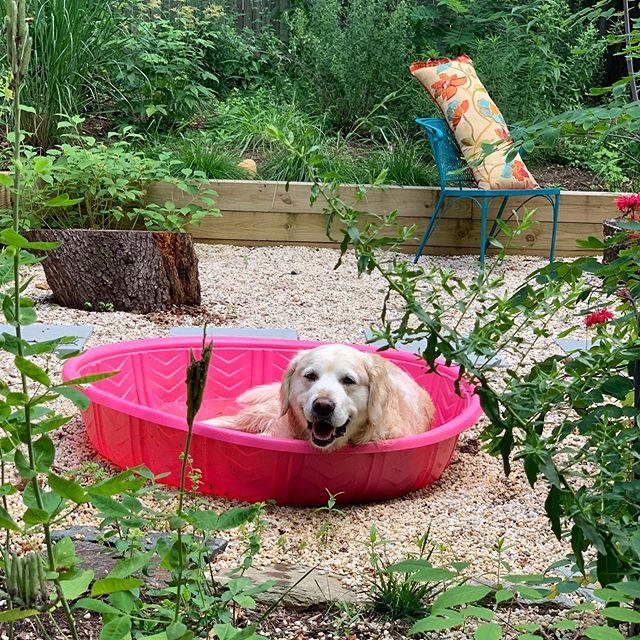 No te vayas verano. #pinkpool #nativeplantgarden #summer #myfavgolden