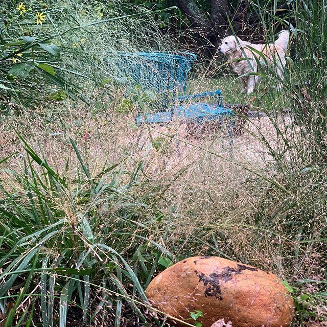 Here comes the Fall. ......................................................................... #fallgarden #nativeplants #sustainablelandscaping #Eragrotis #Purplelovegrass