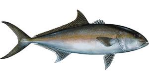 Usually 15 to 30 pounds, sometimes 50+, AMBERJACK are a serious fight. We catch lots of them around the wrecks on jigging tackle.