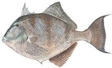 TRIGGERFISH....another fish found around the wrecks and bottom structure.Great to eat.2 to 5 pounds.