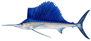 SAILFISH is an offshore species that often inhabits more nearshore waters.