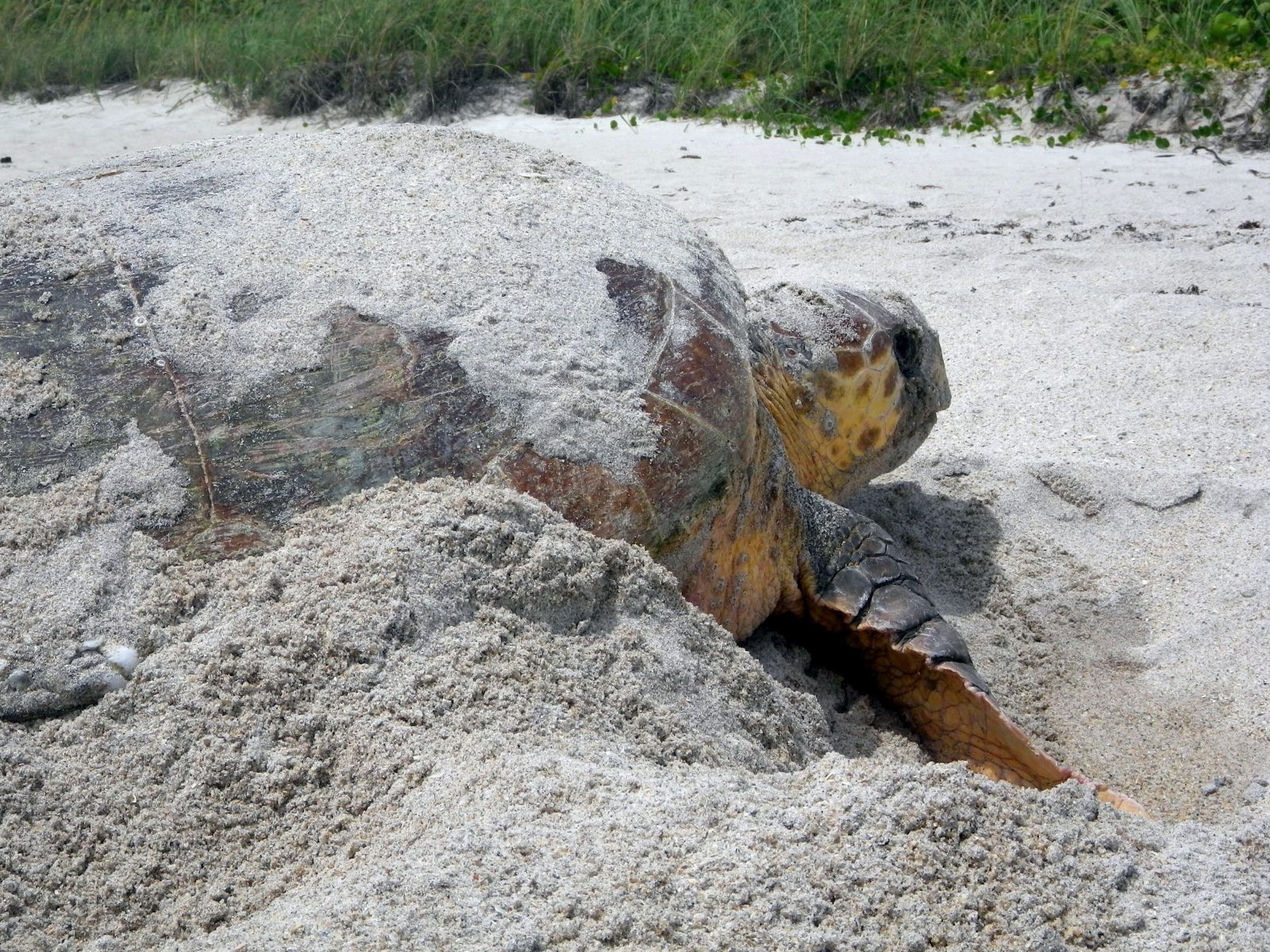 Loggerhead nesting during the day-time in Vero Beach, FL.
