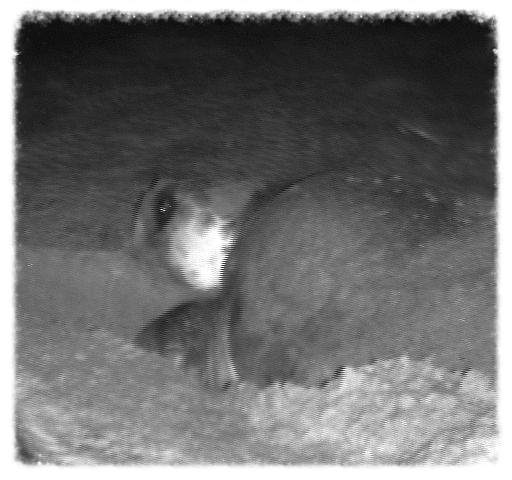 A loggerhead nests around 11:45 PM on Saturday night while the group watches her.