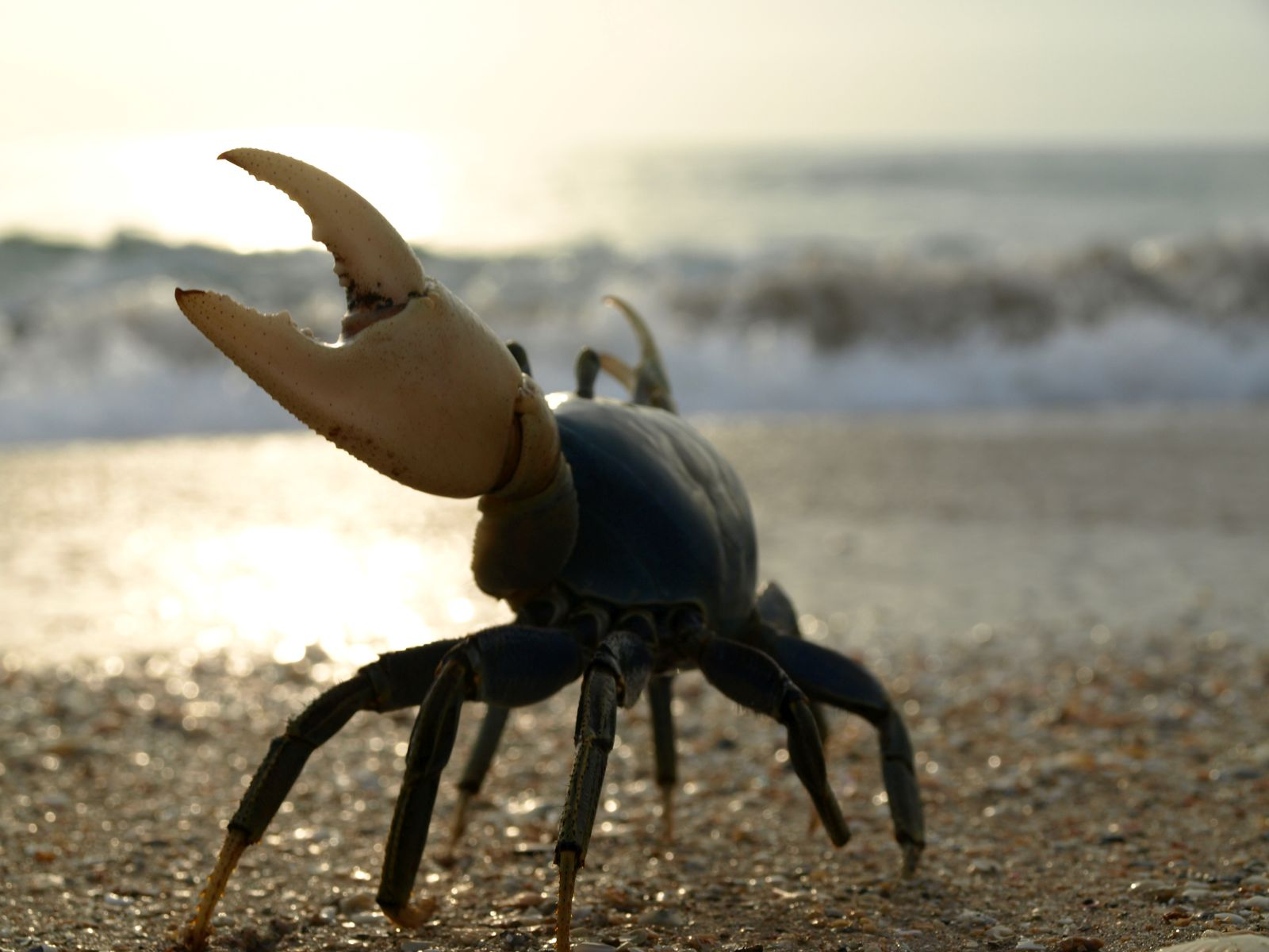 a blue land crab  (cardisoma guanhumi)  gets ready to enter the surf and deposit her eggs in late august..