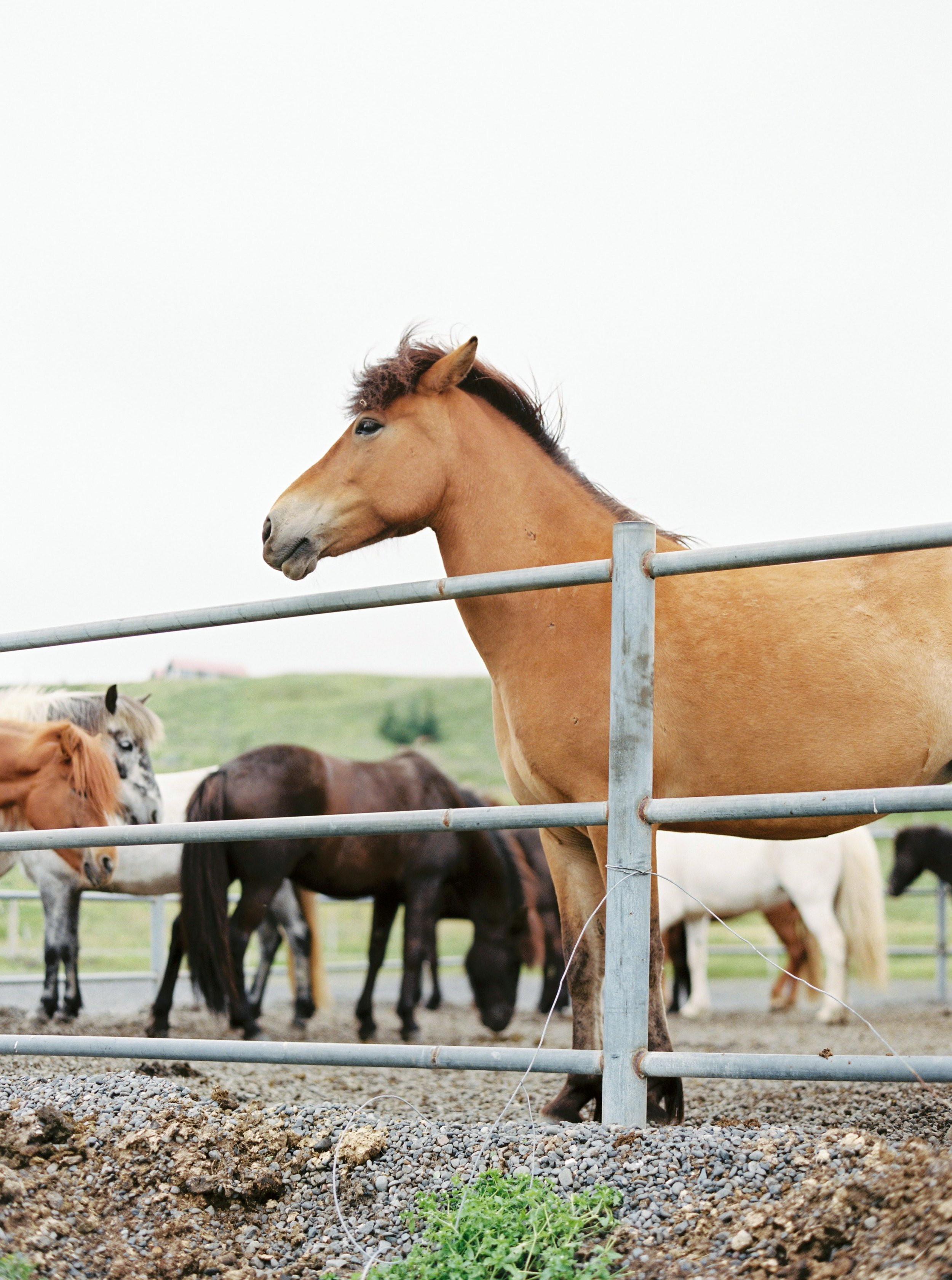 Horses in Iceland by Kristin Sweeting now on Cottage Hill60.jpg