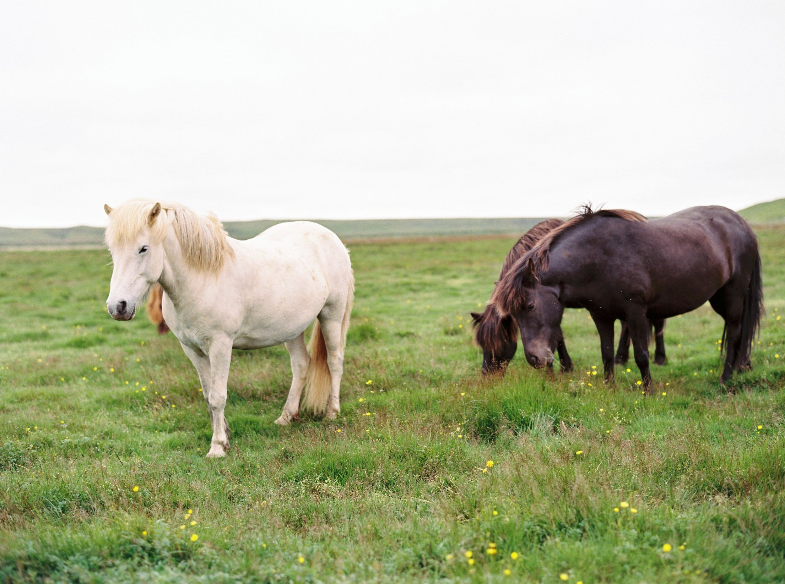 Horses in Iceland by Kristin Sweeting now on Cottage Hill65.jpg