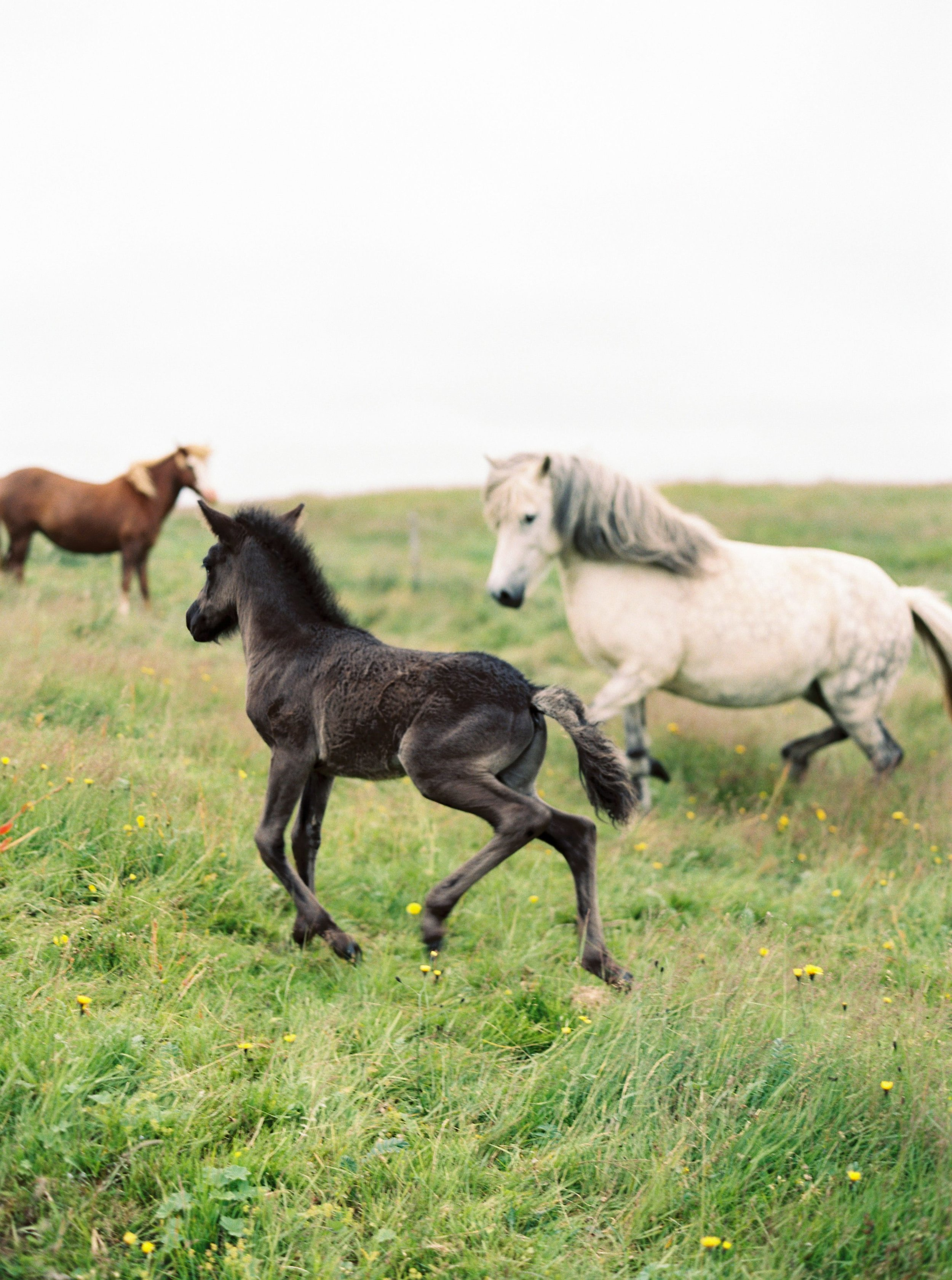 Horses in Iceland by Kristin Sweeting now on Cottage Hill80.jpg