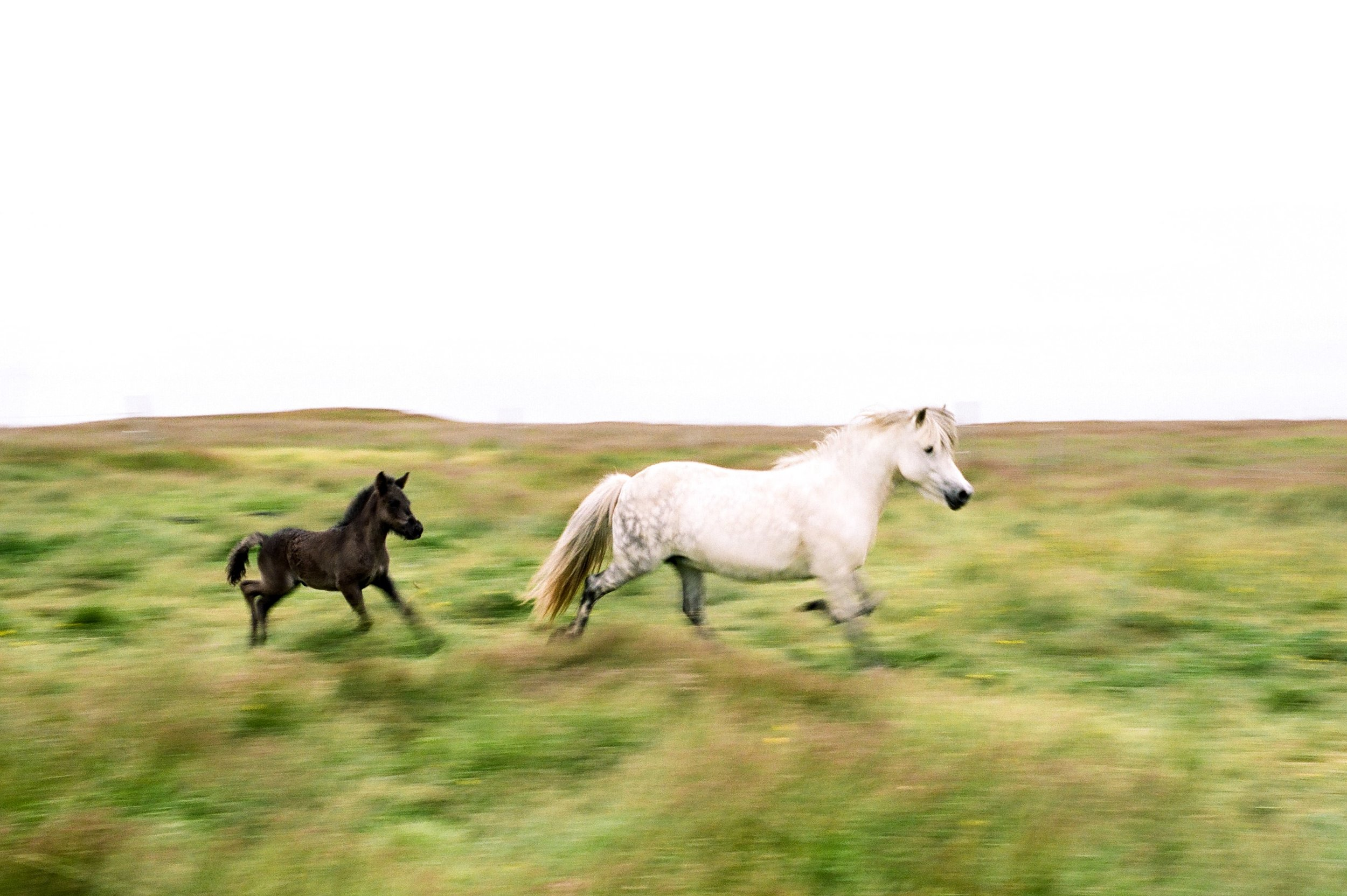 Horses in Iceland by Amilia James now on Cottage Hill2.jpg