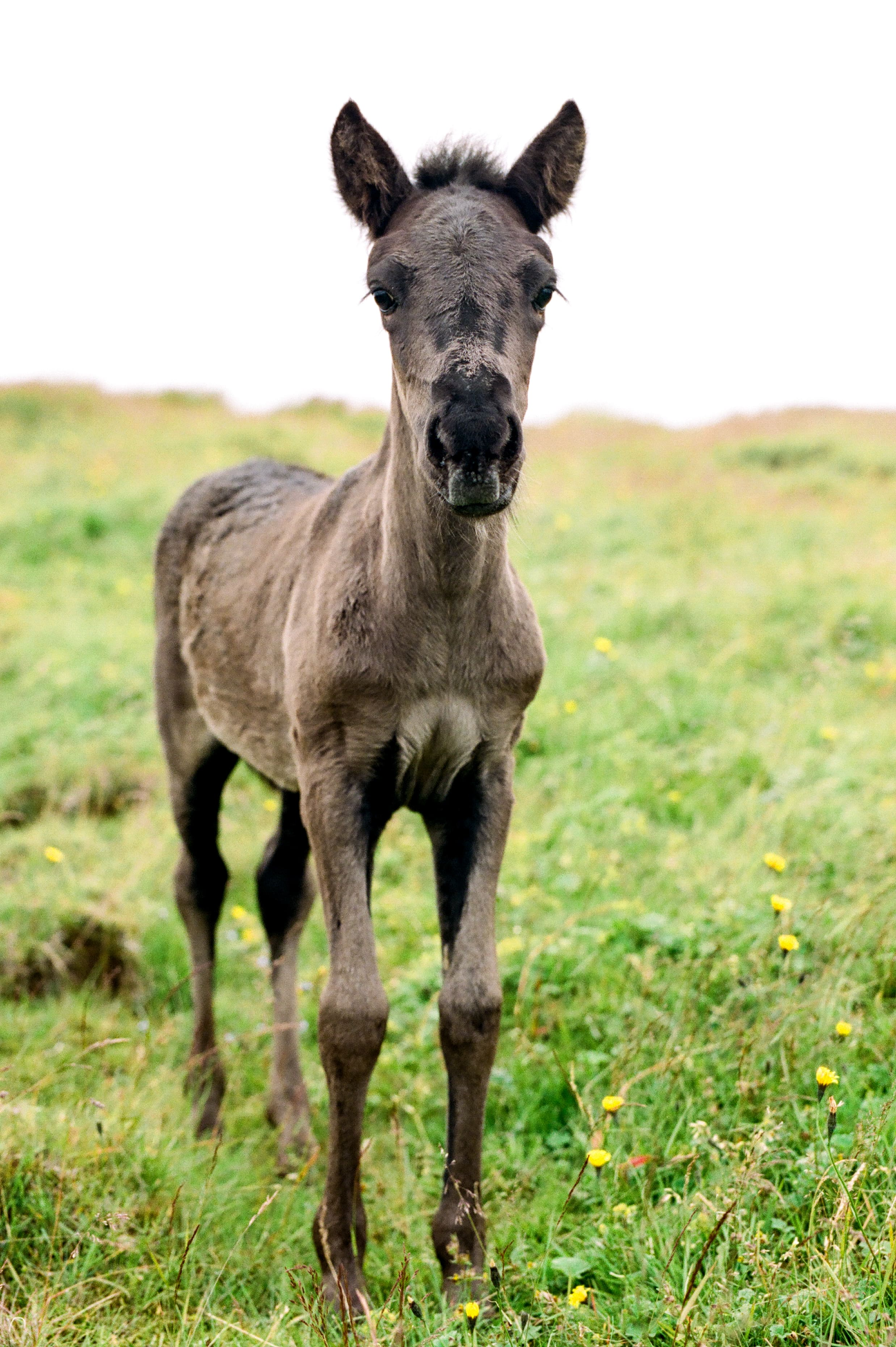 Horses in Iceland by Amilia James now on Cottage Hill1.jpg