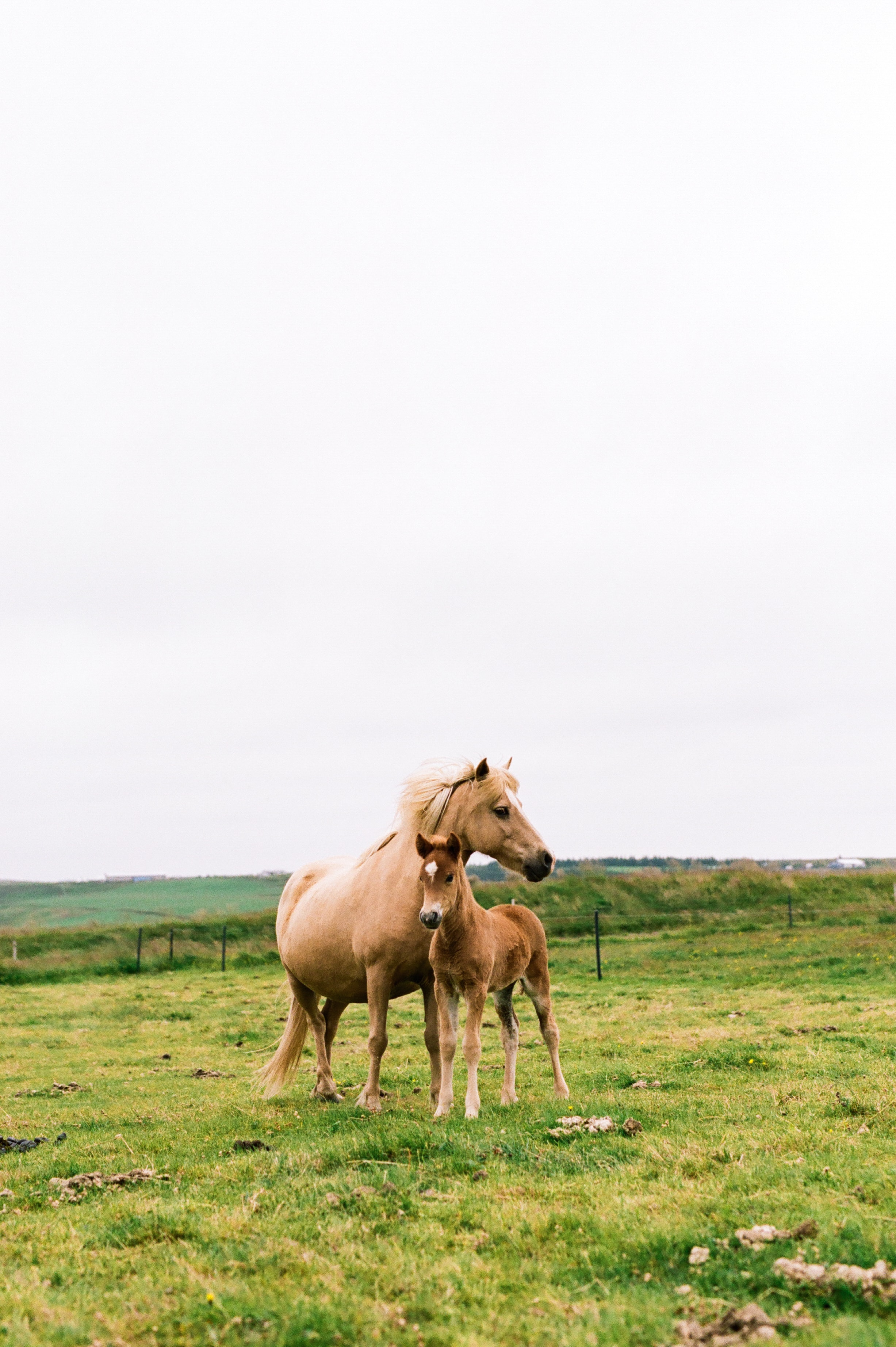 Horses in Iceland by Amilia James now on Cottage Hill3.jpg
