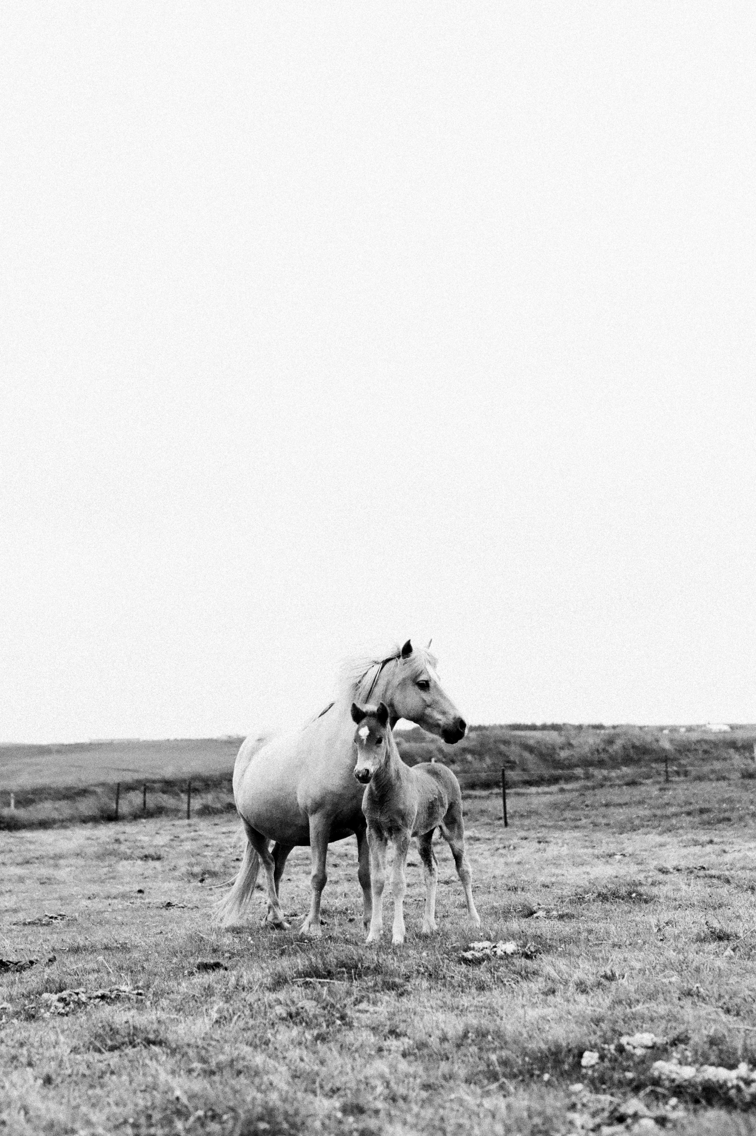 Horses in Iceland by Amilia James now on Cottage Hill4.jpg