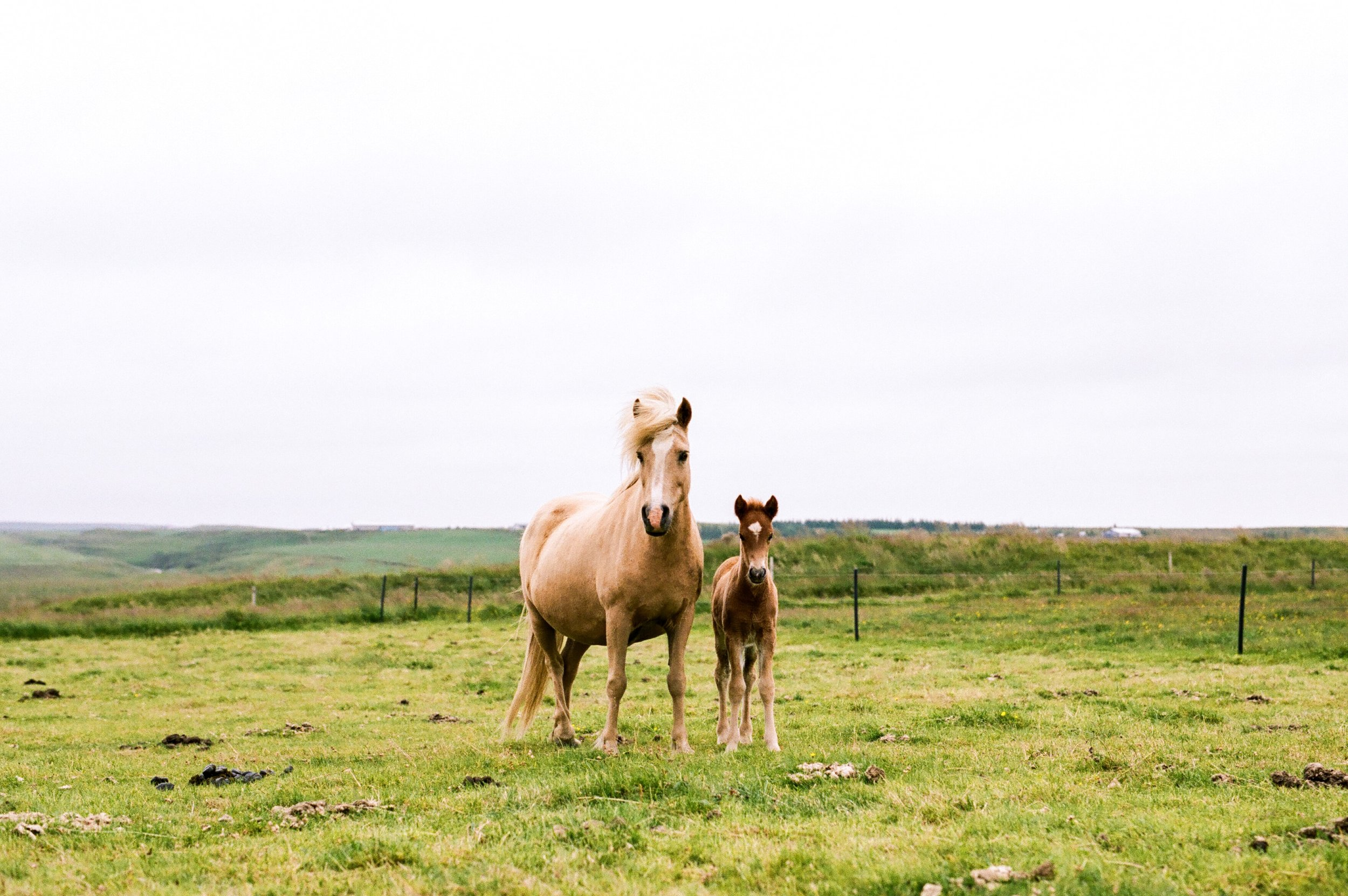 Horses in Iceland by Amilia James now on Cottage Hill5.jpg