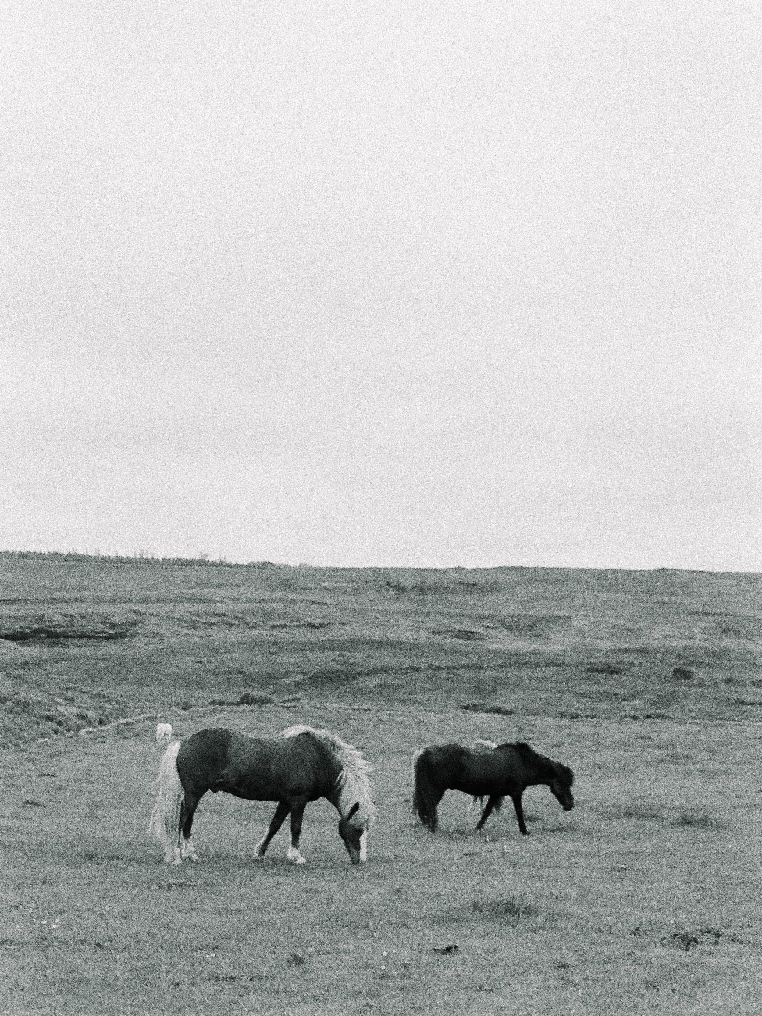 Horses in Iceland by Elli Jane now on Cottage Hill12.jpg