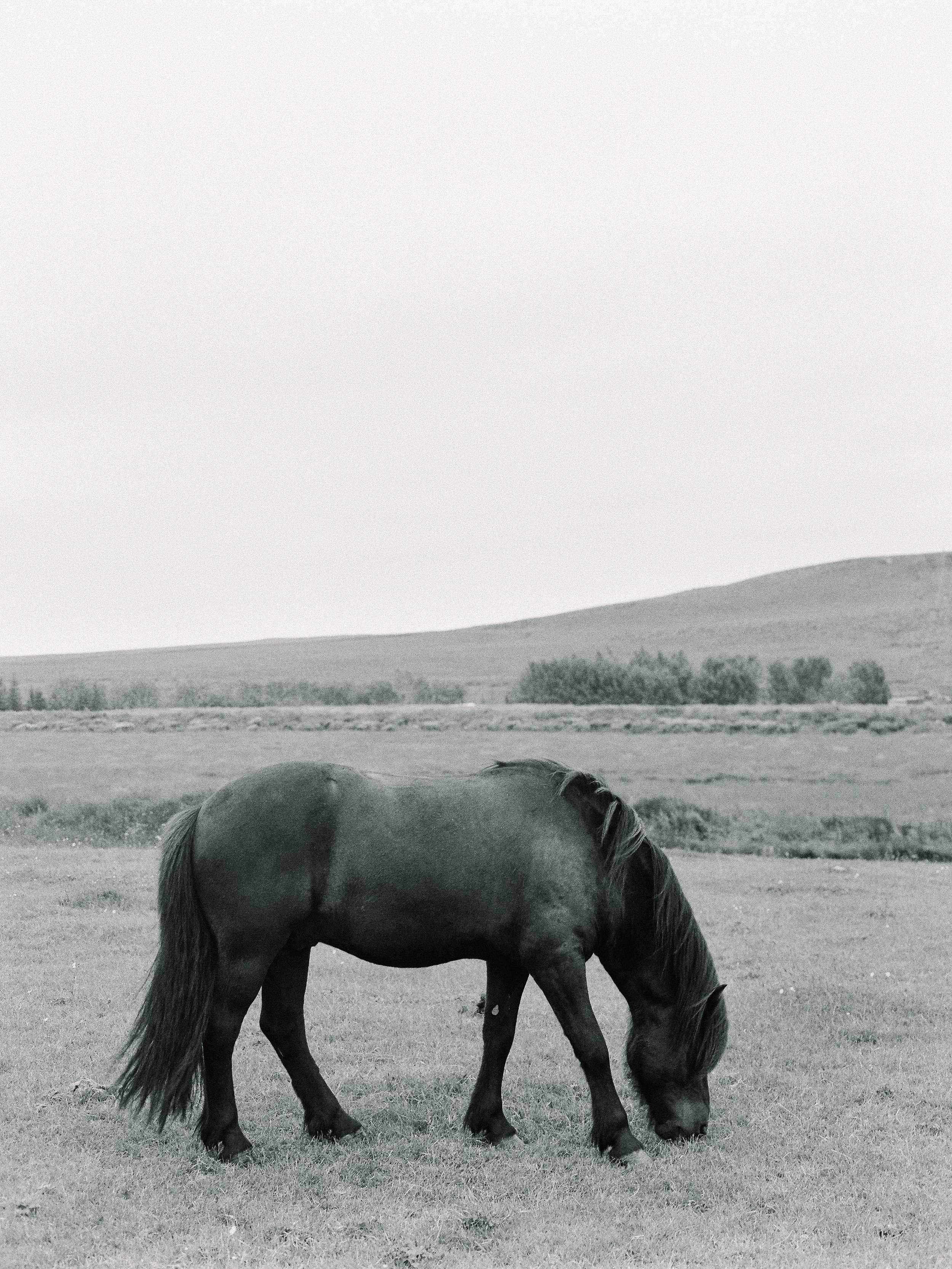 Horses in Iceland by Elli Jane now on Cottage Hill15.jpg