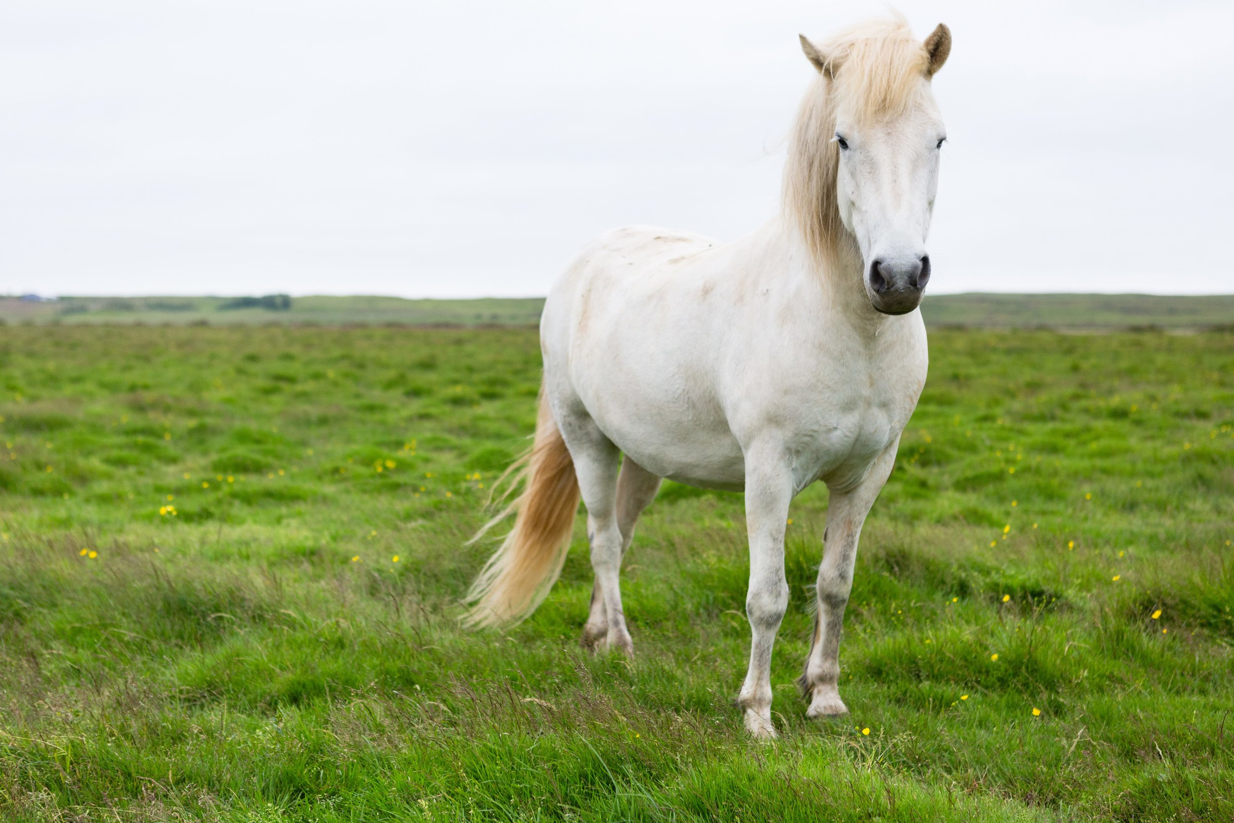 Horses in Iceland by Jen Madigan now on Cottage Hill8.jpg