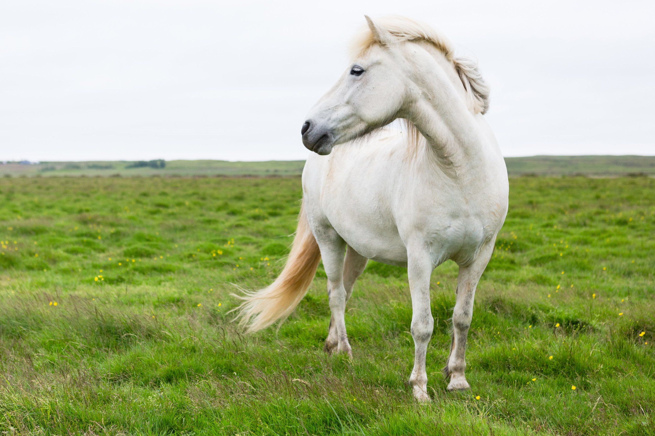 Horses in Iceland by Jen Madigan now on Cottage Hill10.jpg