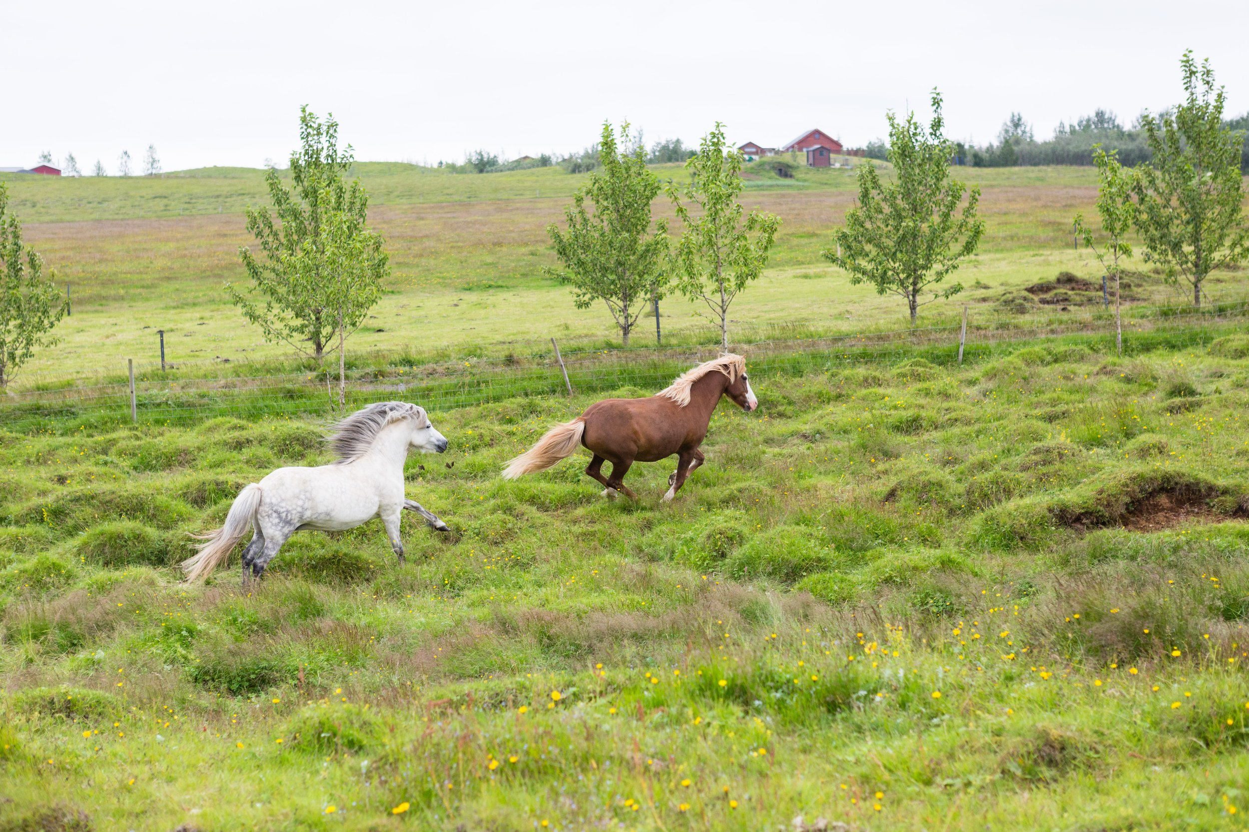 Horses in Iceland by Jen Madigan now on Cottage Hill34.jpg
