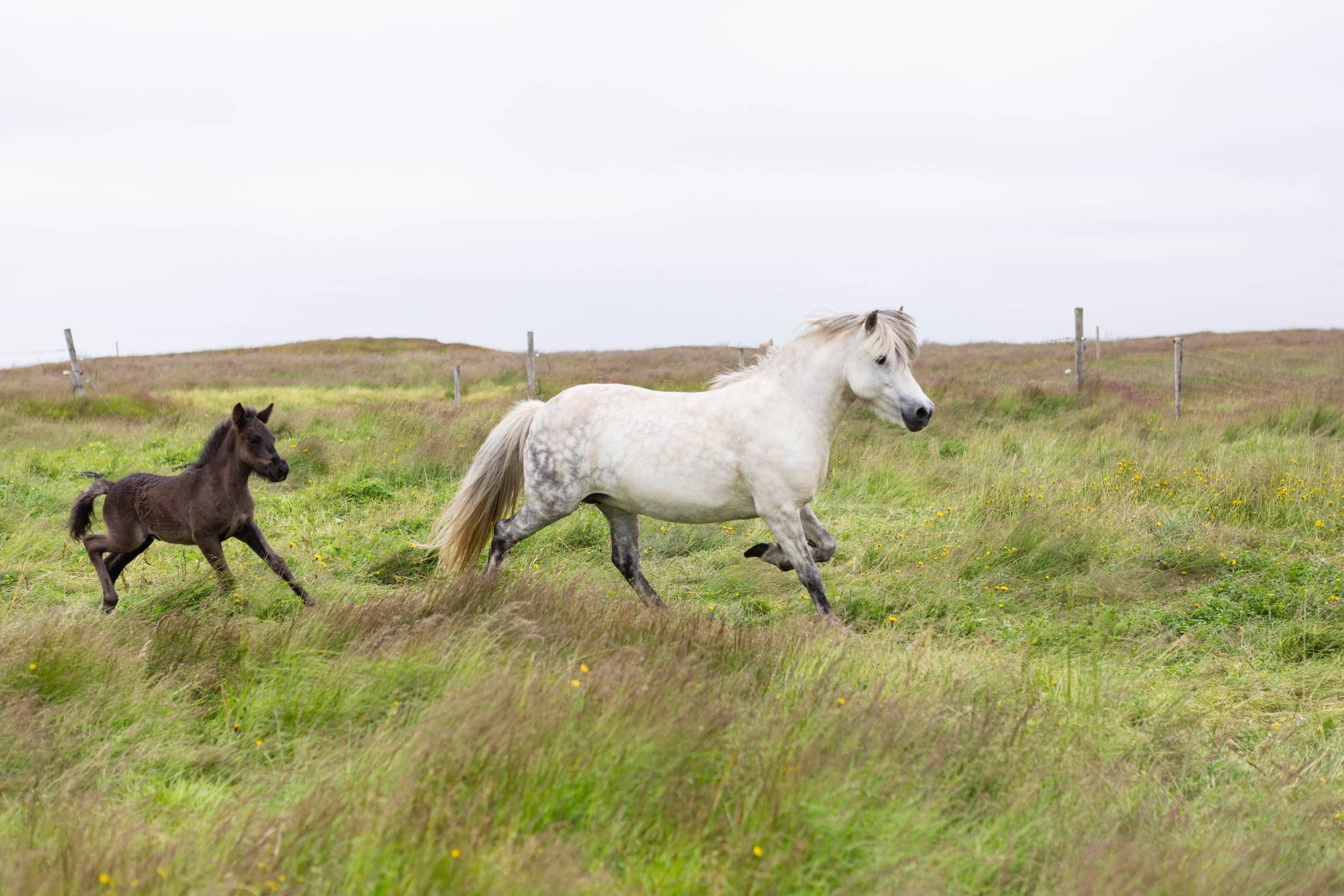 Horses in Iceland by Jen Madigan now on Cottage Hill38.jpg