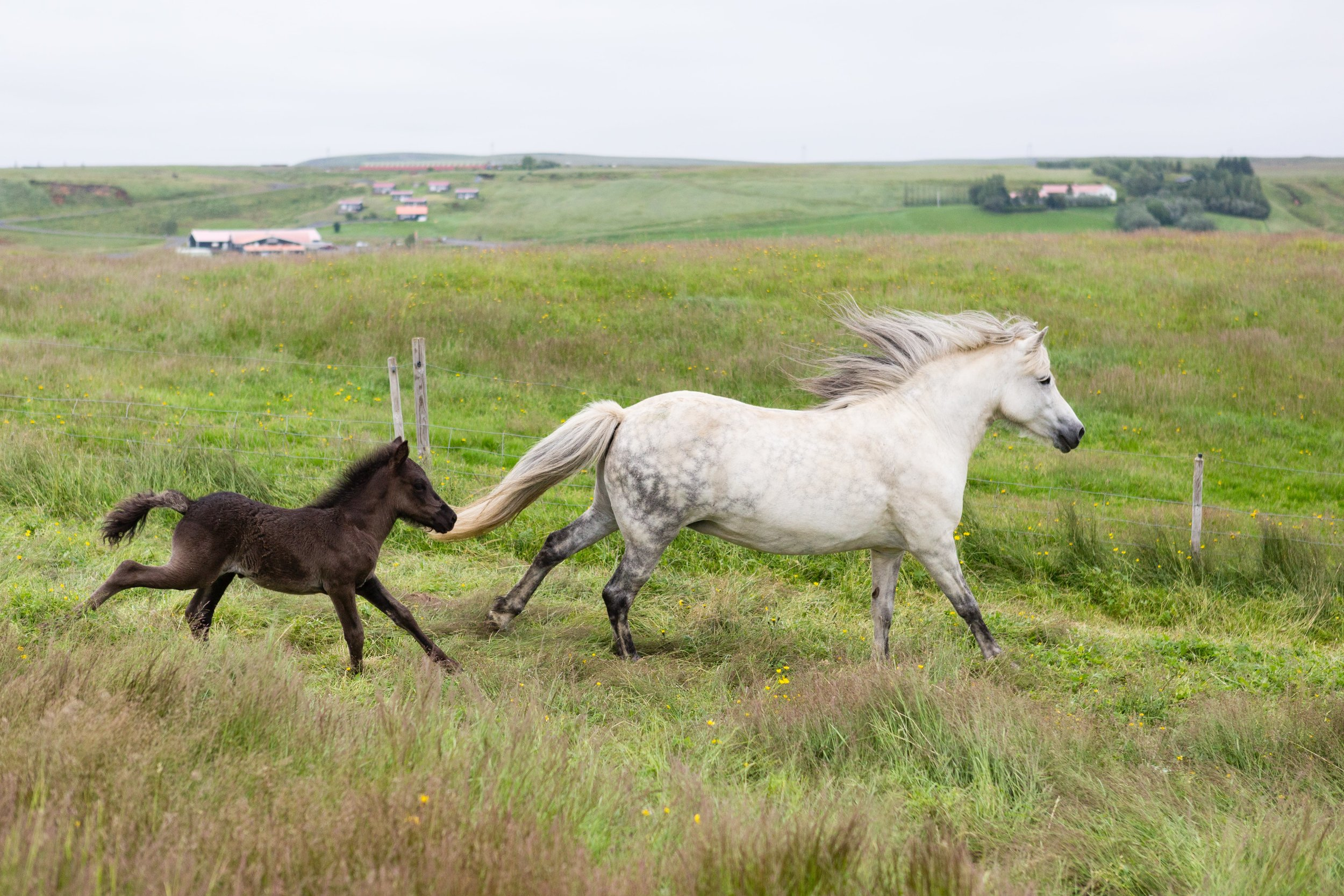 Horses in Iceland by Jen Madigan now on Cottage Hill39.jpg