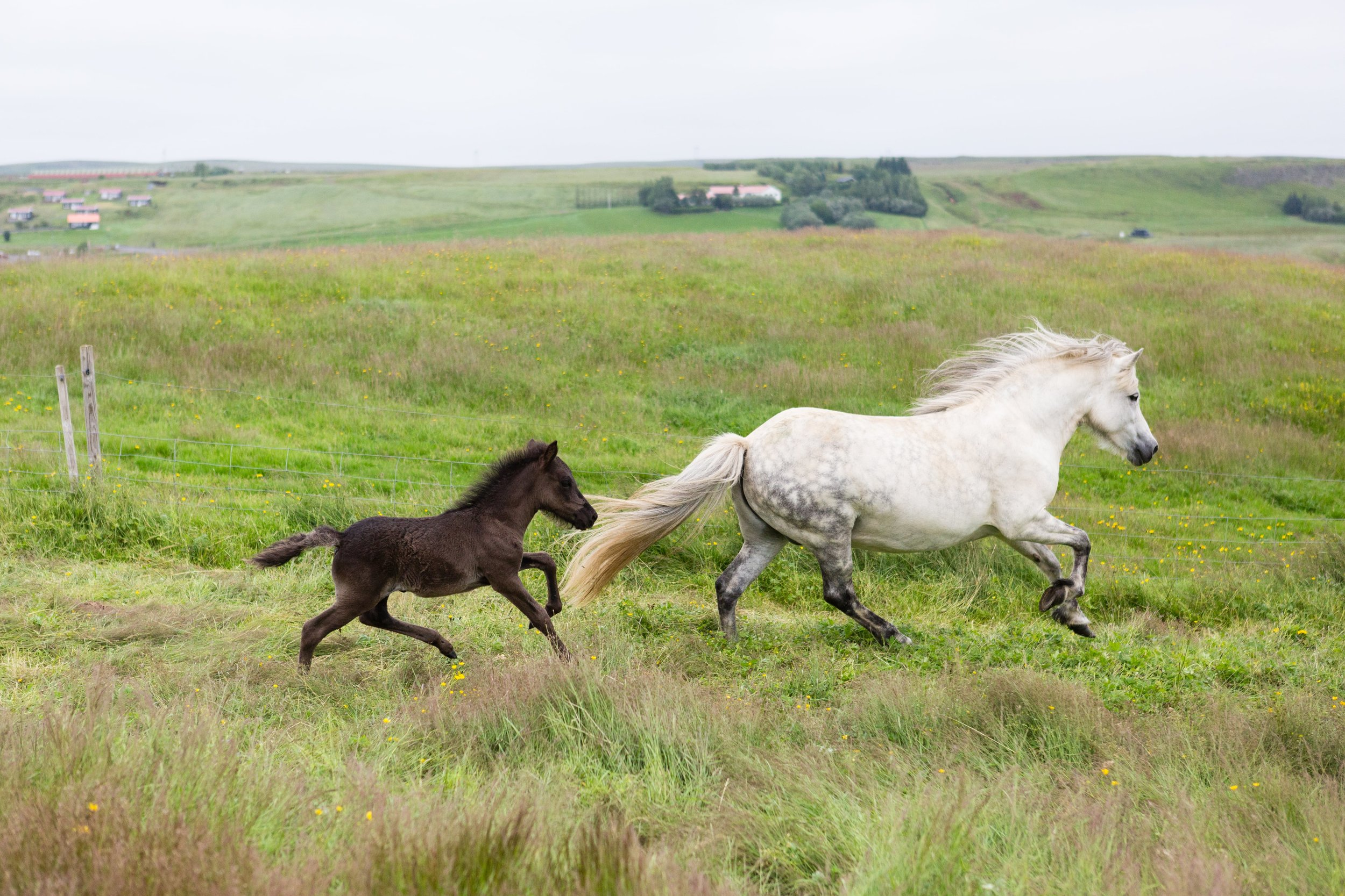 Horses in Iceland by Jen Madigan now on Cottage Hill41.jpg