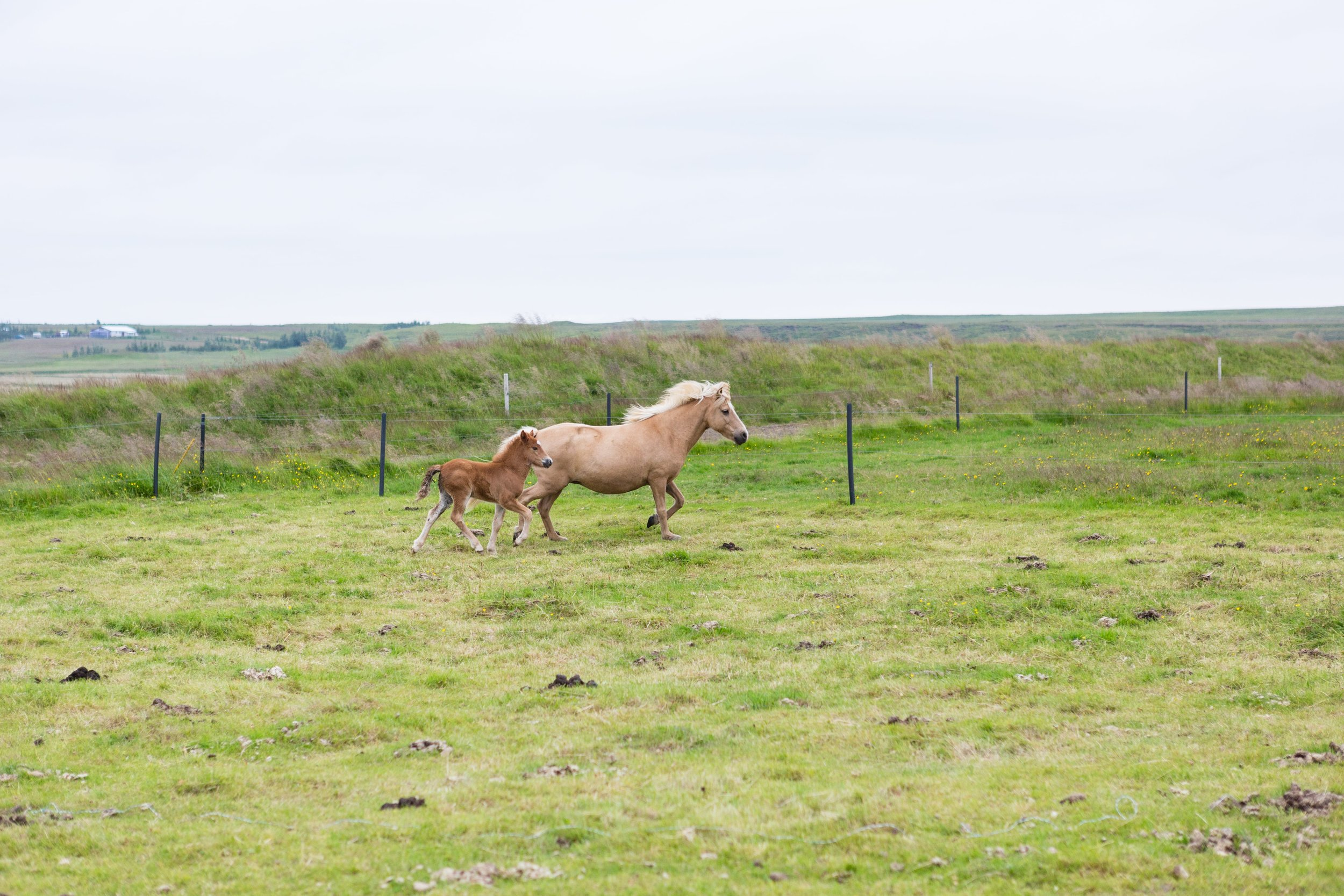 Horses in Iceland by Jen Madigan now on Cottage Hill47.jpg