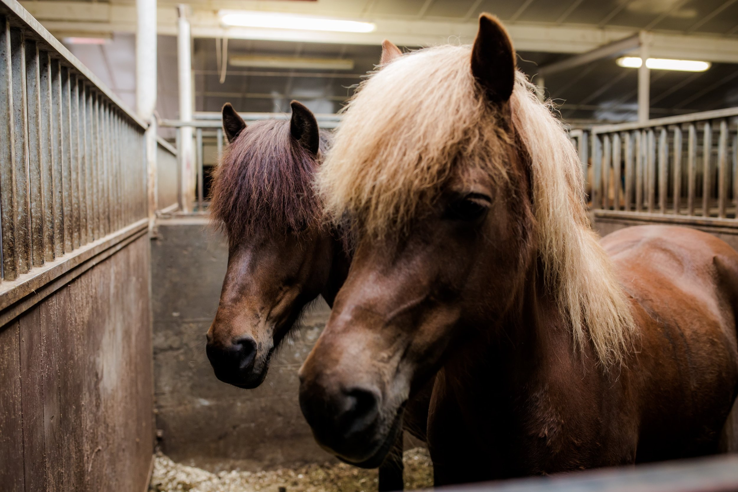 Horses in Iceland by Christina Swanson now on Cottage Hill15.jpg