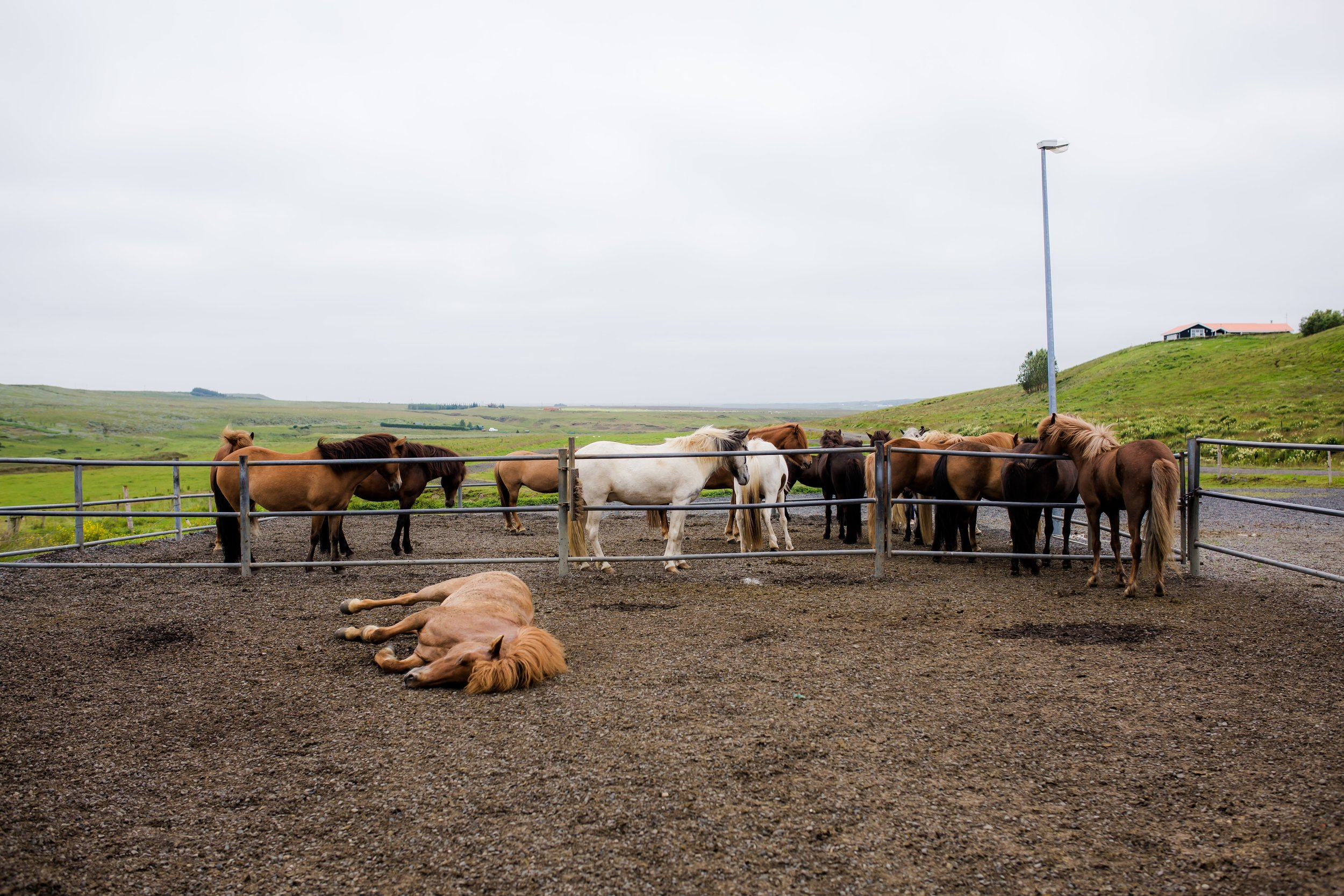 Horses in Iceland by Christina Swanson now on Cottage Hill18.jpg