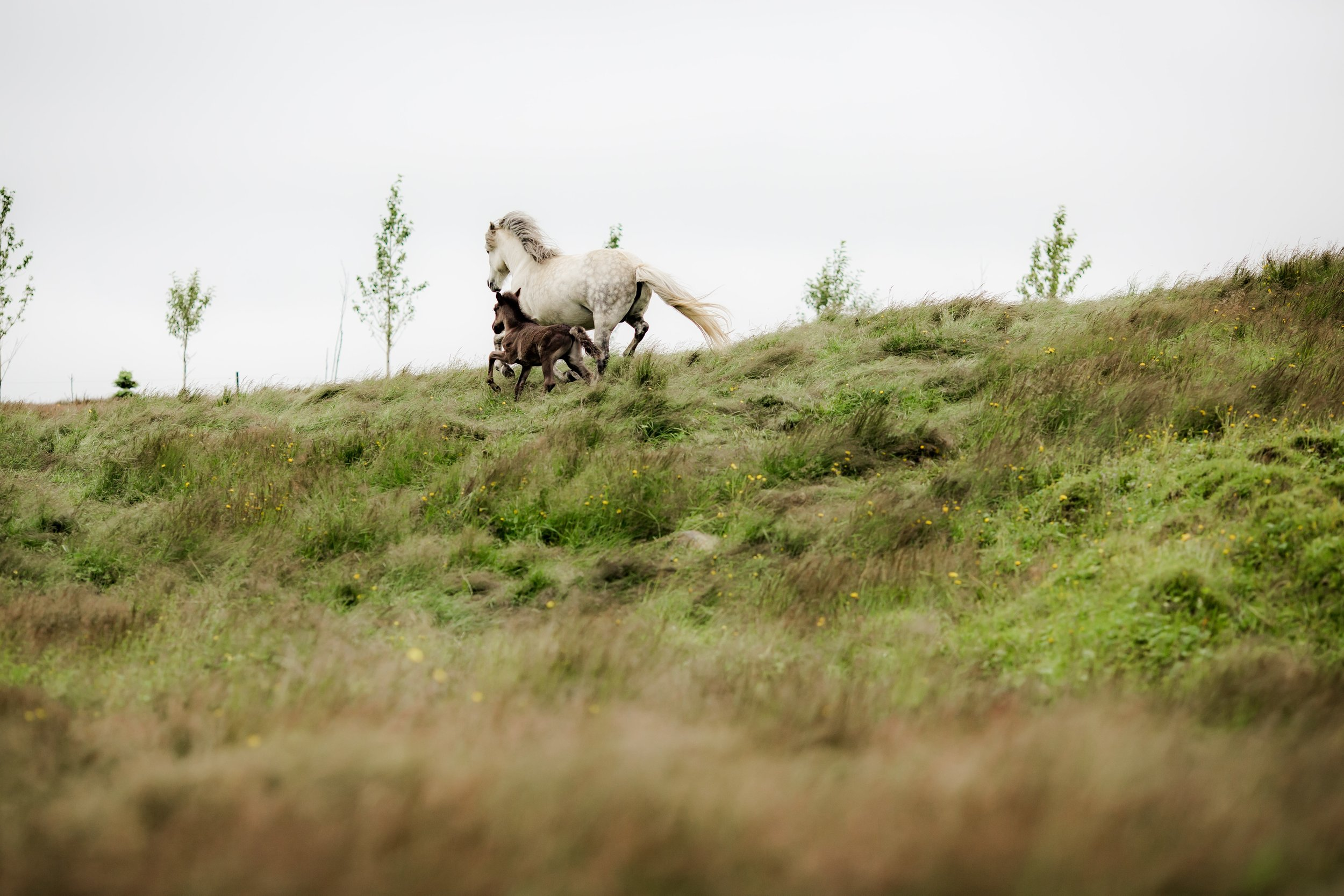 Horses in Iceland by Christina Swanson now on Cottage Hill23.jpg