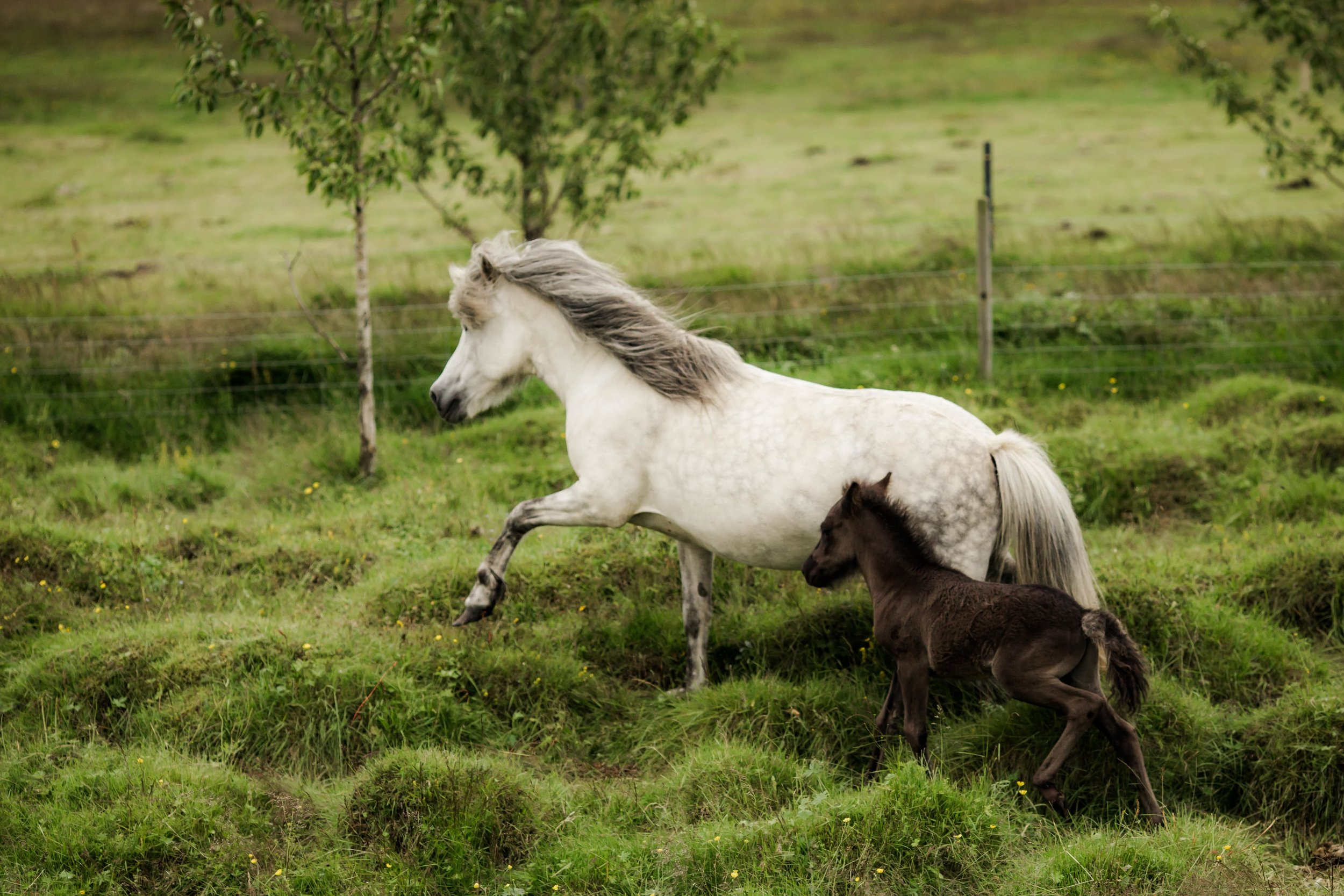 Horses in Iceland by Christina Swanson now on Cottage Hill28.jpg
