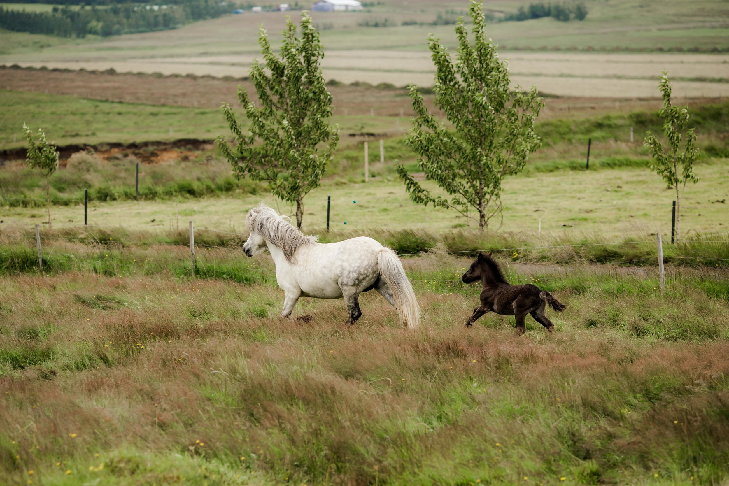 Horses in Iceland by Christina Swanson now on Cottage Hill30.jpg
