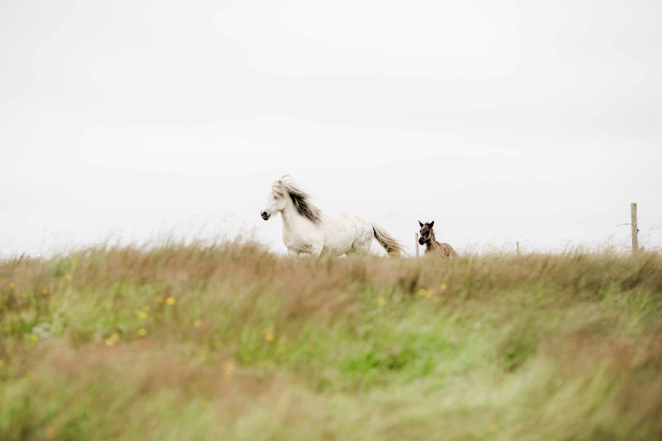 Horses in Iceland by Christina Swanson now on Cottage Hill36.jpg