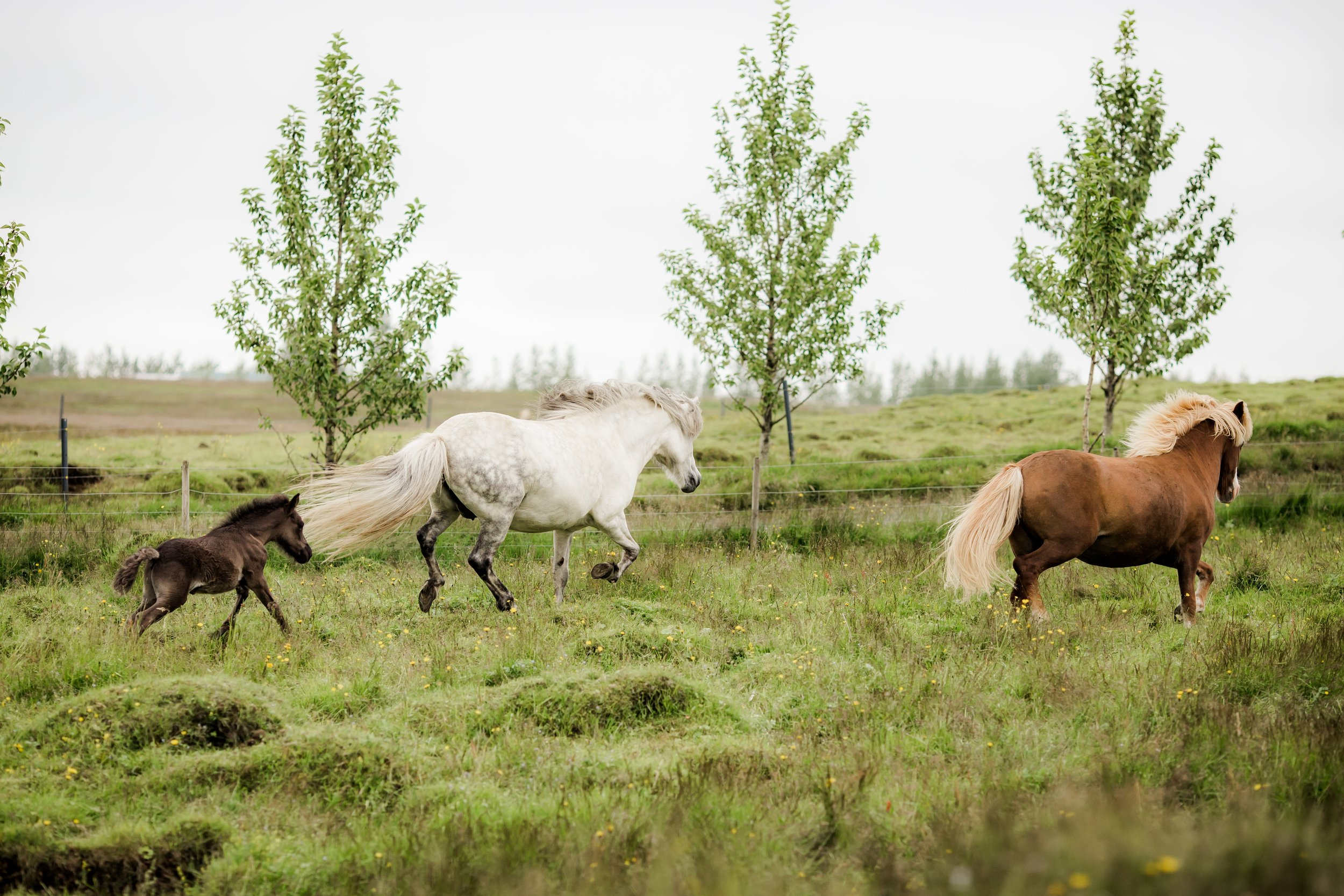Horses in Iceland by Christina Swanson now on Cottage Hill35.jpg