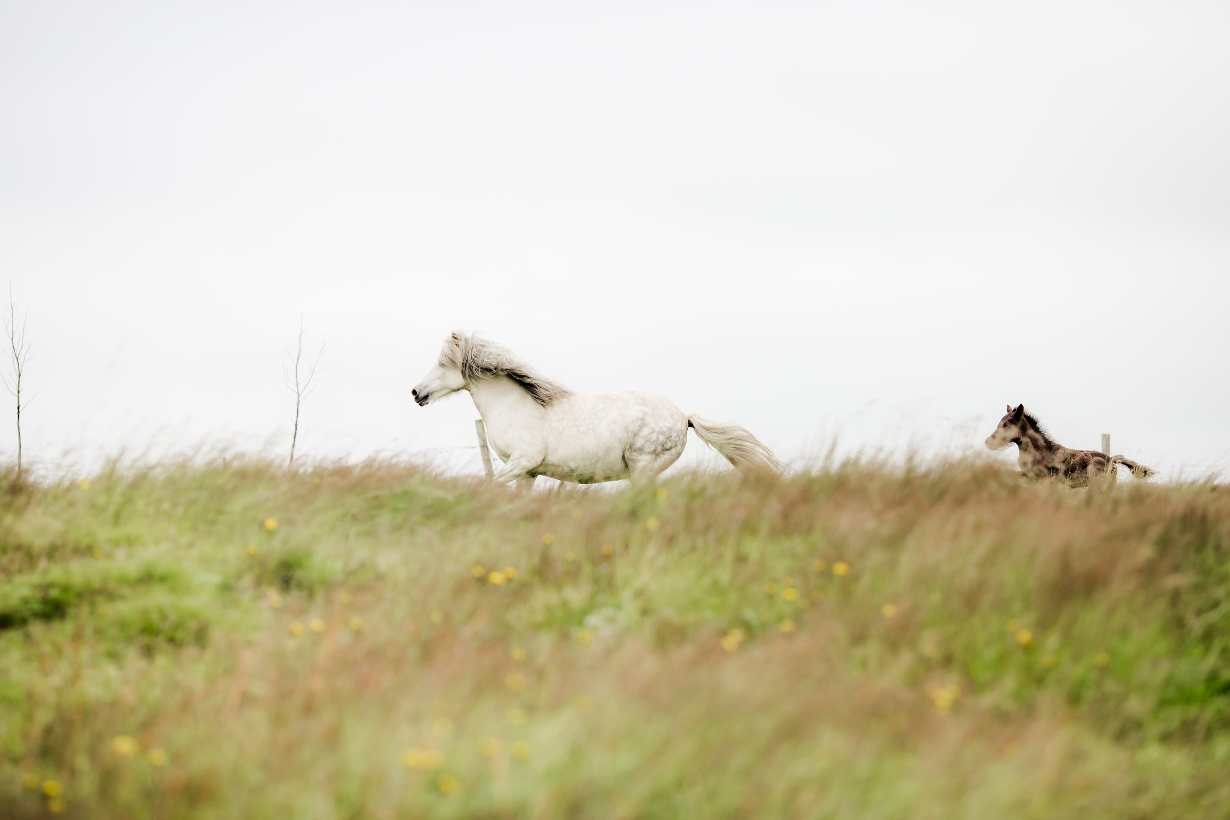 Horses in Iceland by Christina Swanson now on Cottage Hill37.jpg