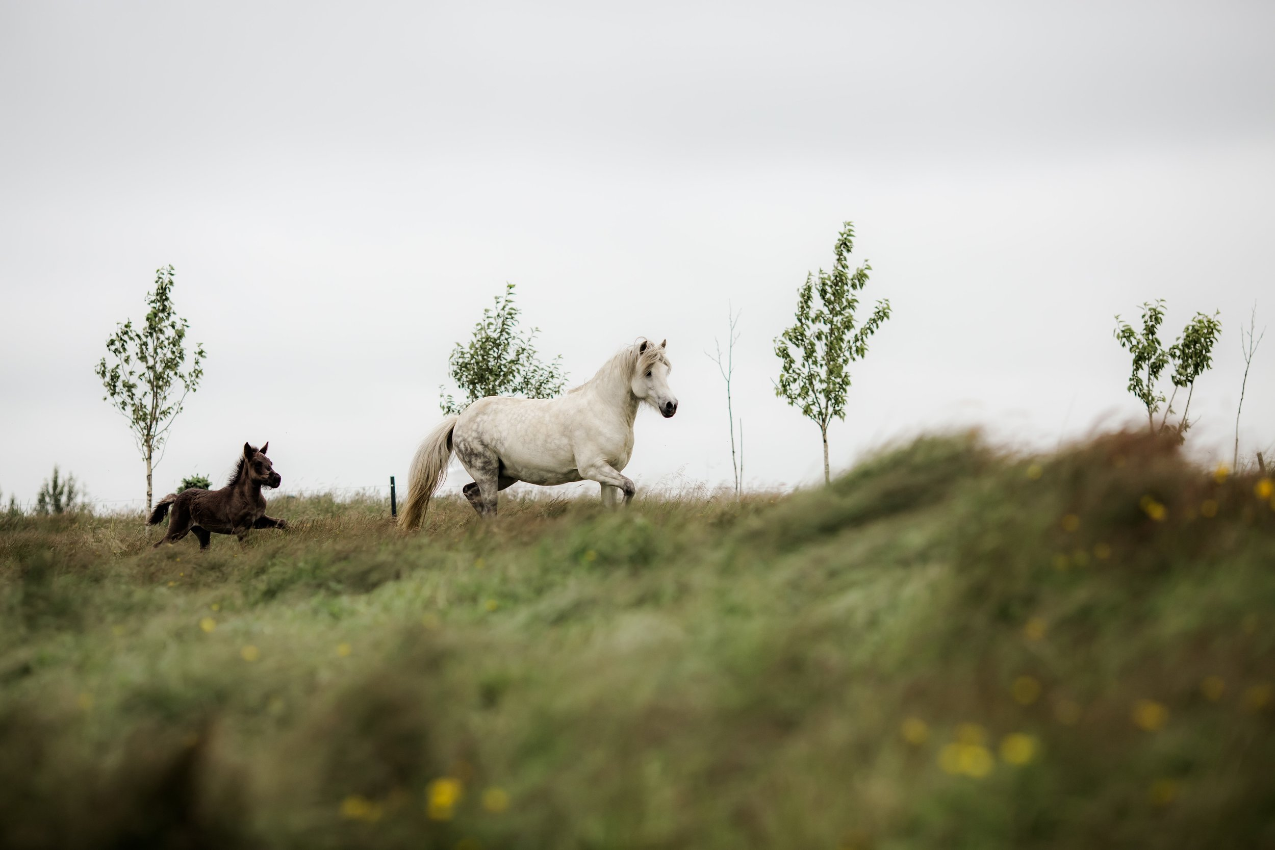 Horses in Iceland by Christina Swanson now on Cottage Hill49.jpg