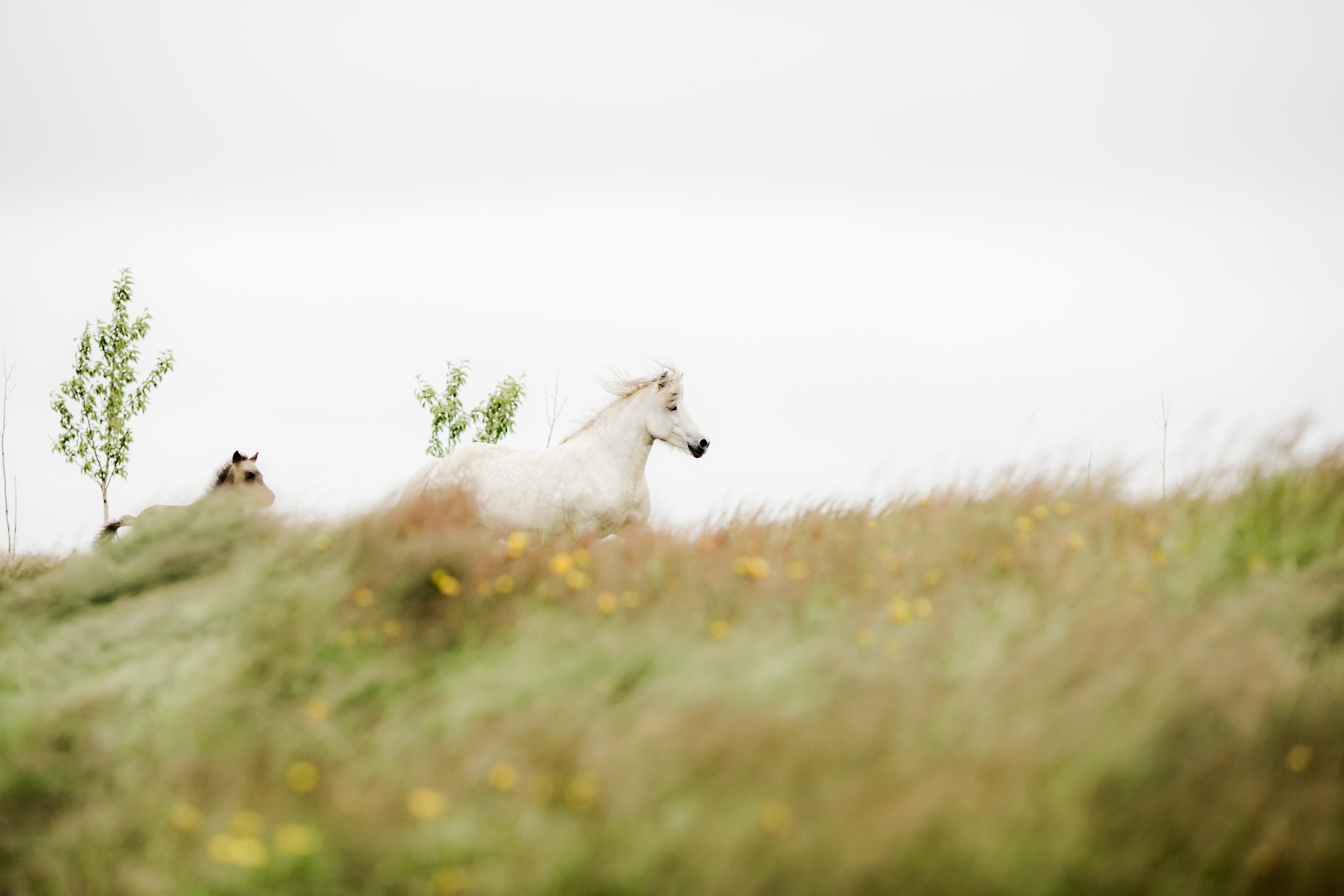 Horses in Iceland by Christina Swanson now on Cottage Hill50.jpg