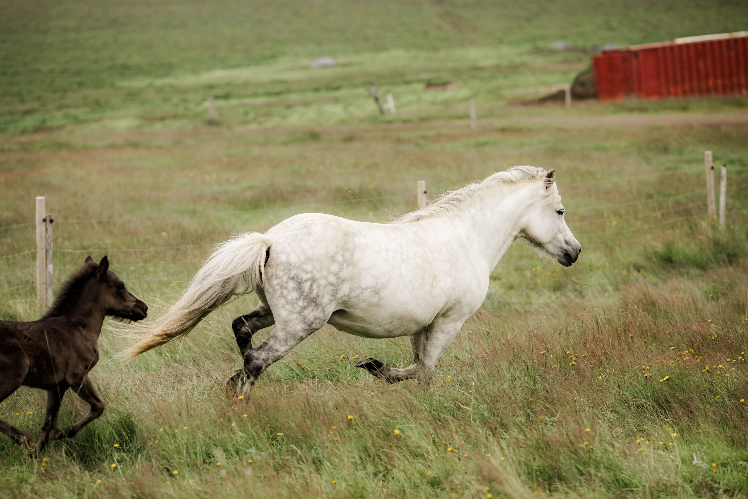 Horses in Iceland by Christina Swanson now on Cottage Hill52.jpg