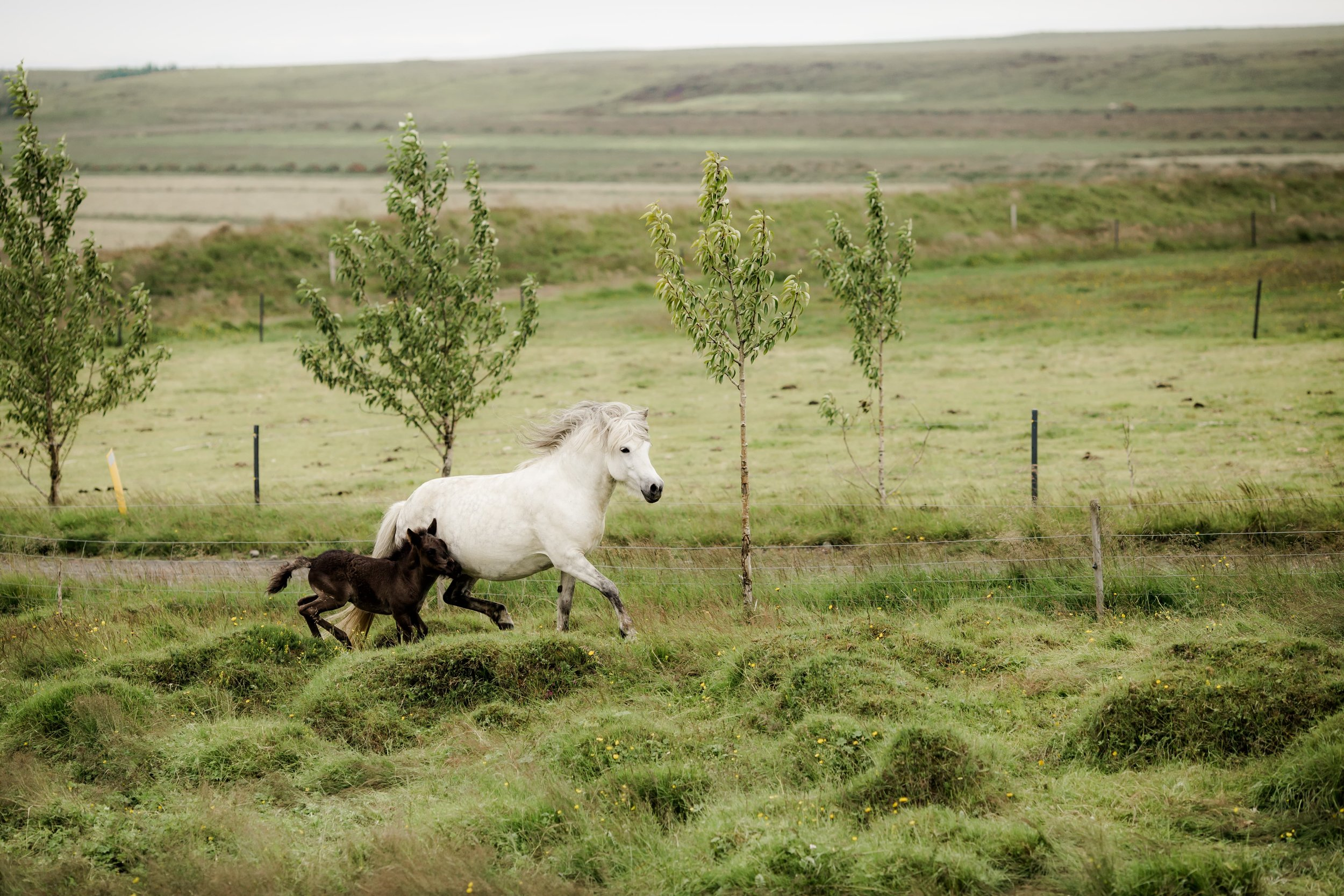 Horses in Iceland by Christina Swanson now on Cottage Hill54.jpg