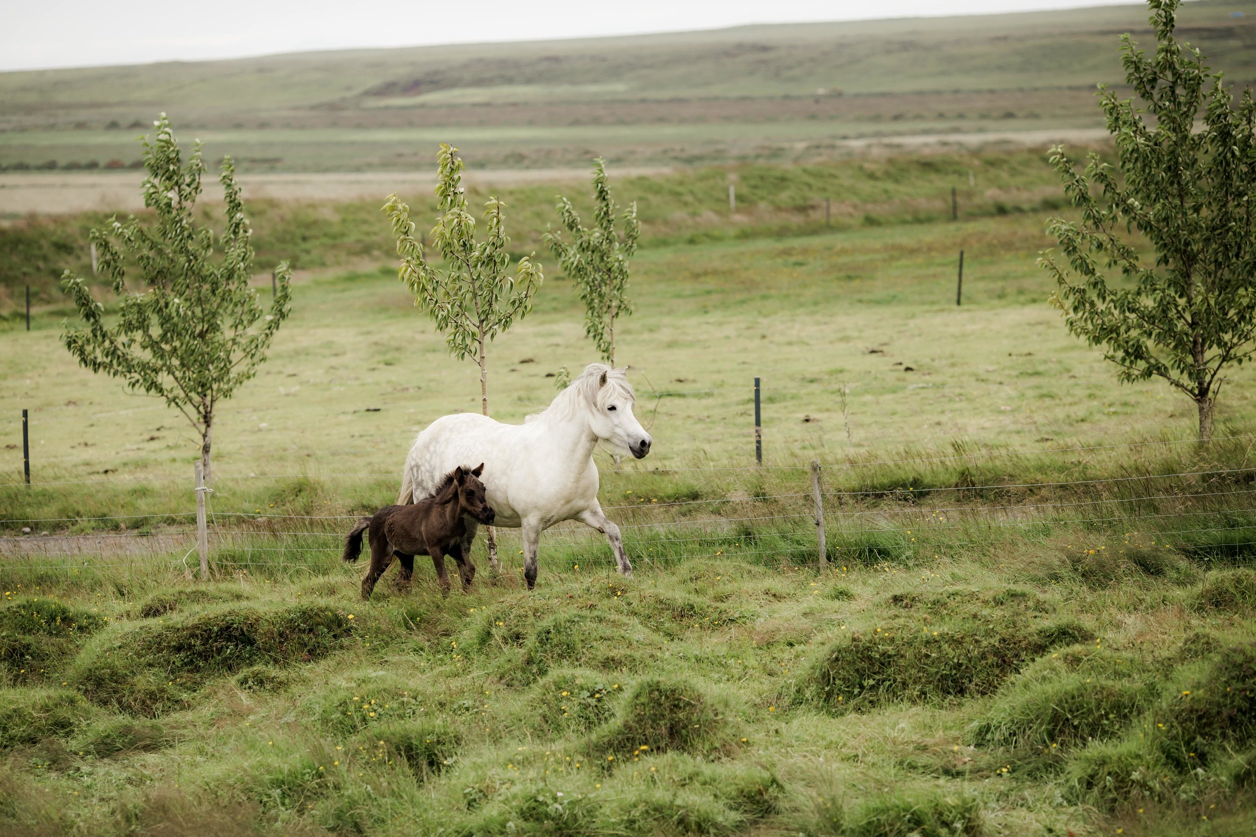 Horses in Iceland by Christina Swanson now on Cottage Hill55.jpg