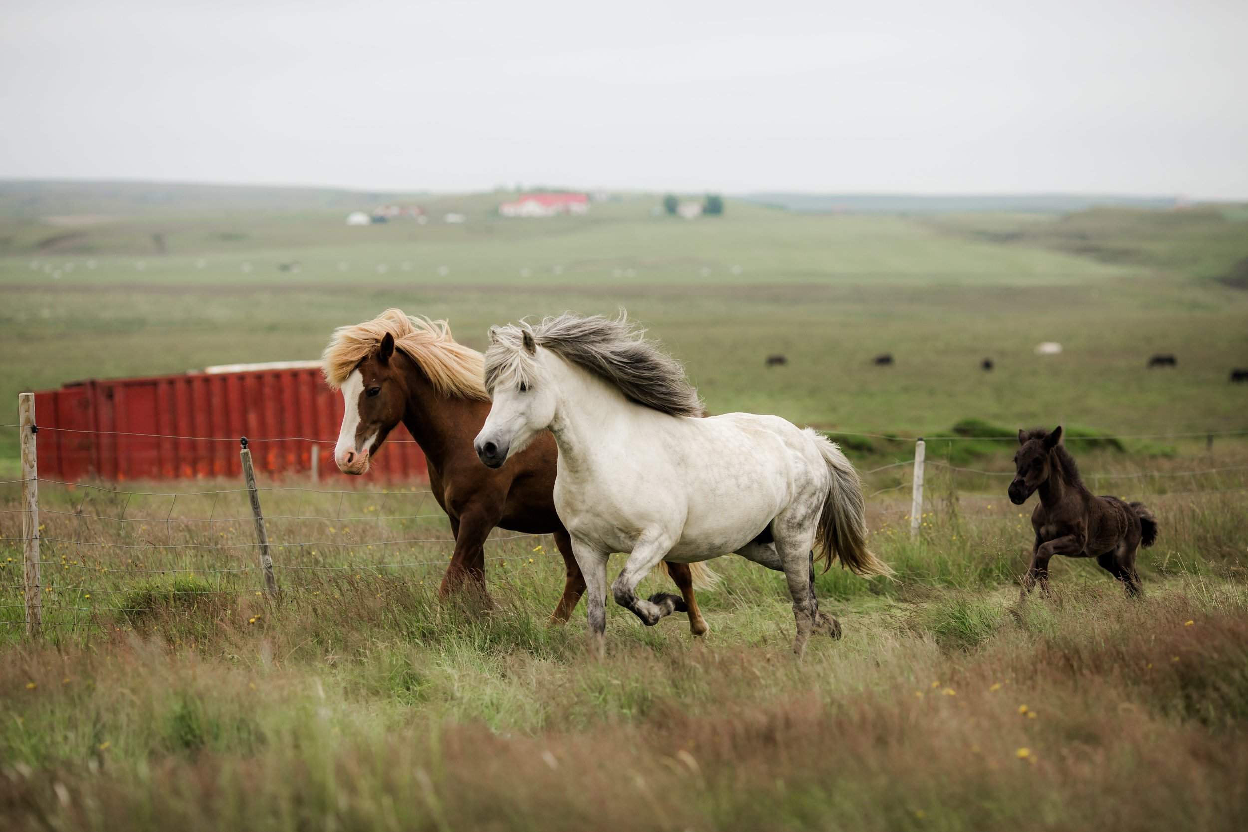 Horses in Iceland by Christina Swanson now on Cottage Hill57.jpg