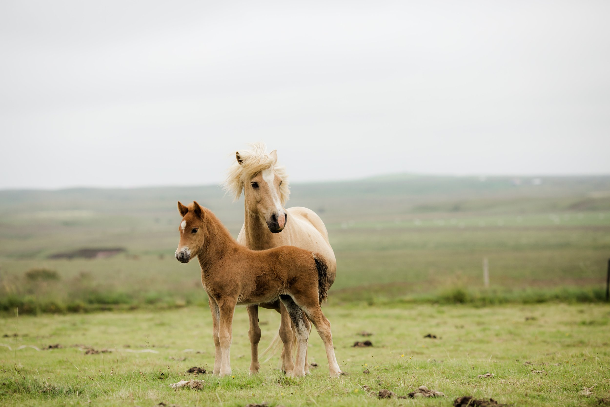 Horses in Iceland by Christina Swanson now on Cottage Hill62.jpg