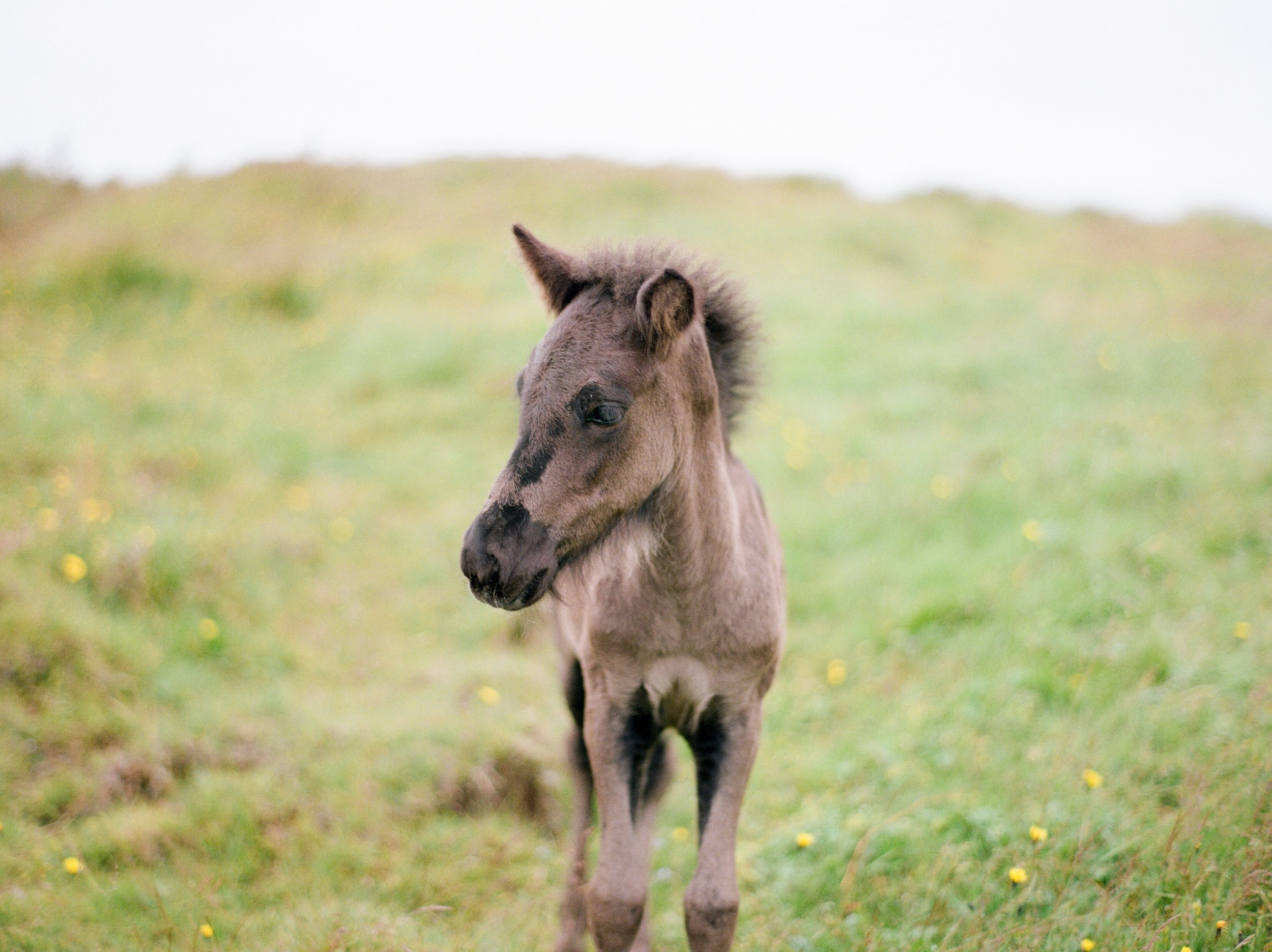 Horses in Iceland by Catherine Taylor now on Cottage Hill2.jpg