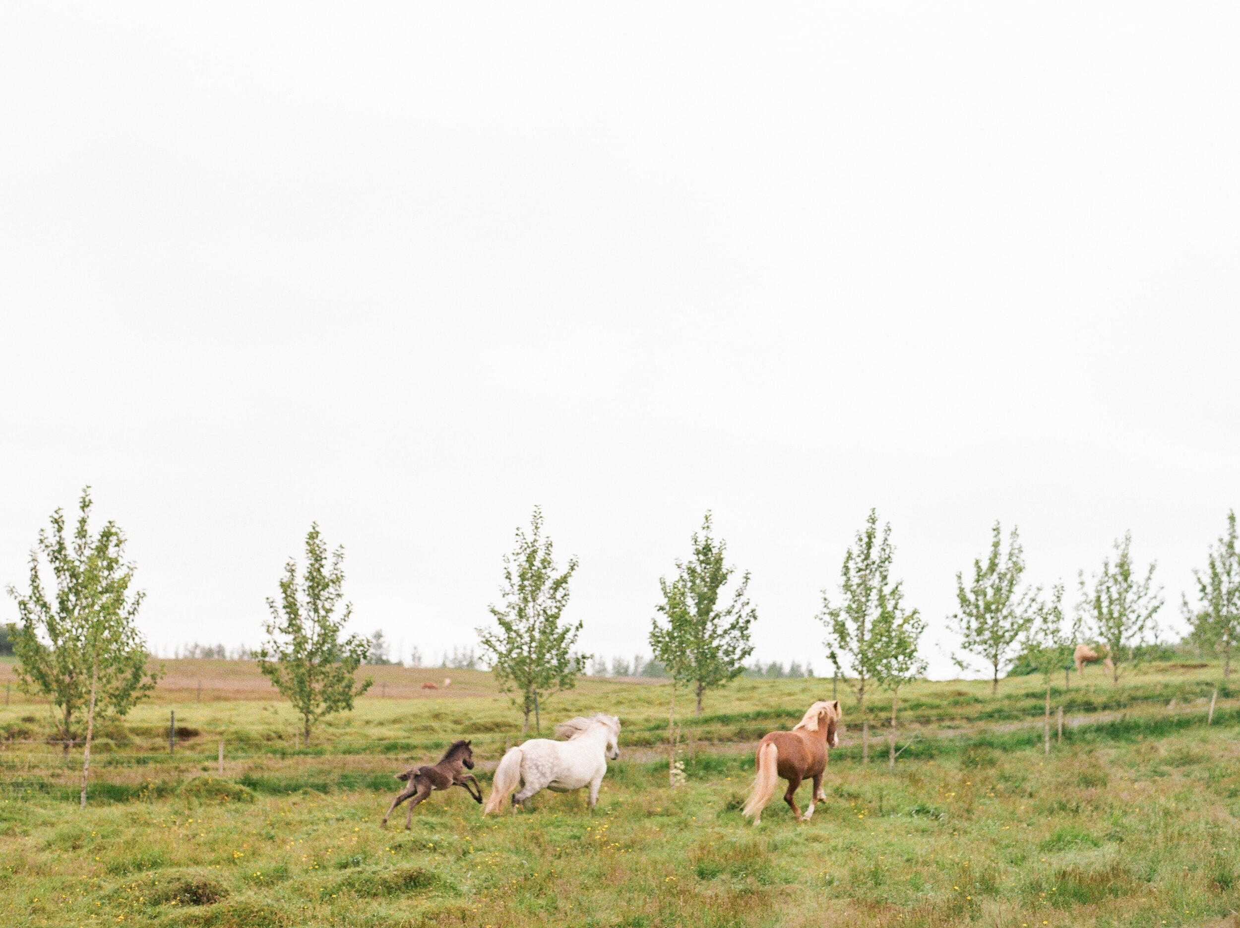 Horses in Iceland by Catherine Taylor now on Cottage Hill21.jpg