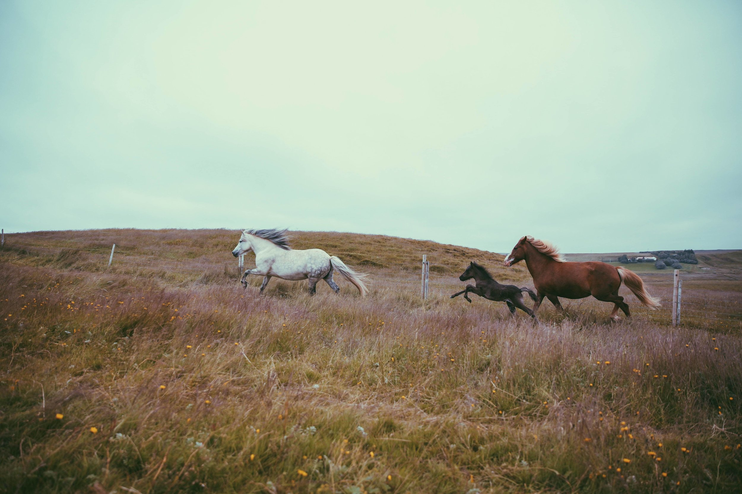 Horses in Iceland by Jessie Watts now on Cottage Hill8.jpg