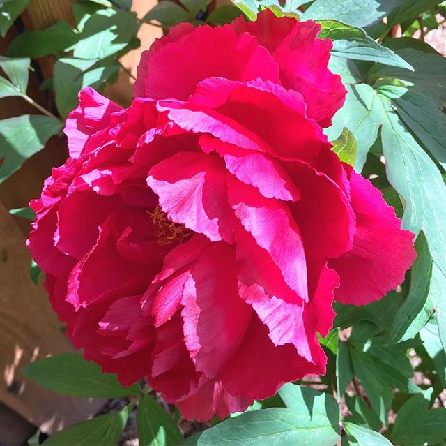 Exciting back yard surprises!  Anyone know anything about peonies? One has a million ants on it. 🤔