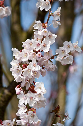 Cherry 'Spire' trees will be planted along Tariff St, click to learn more about the tree species.  Image courtesy of the  RHS  .
